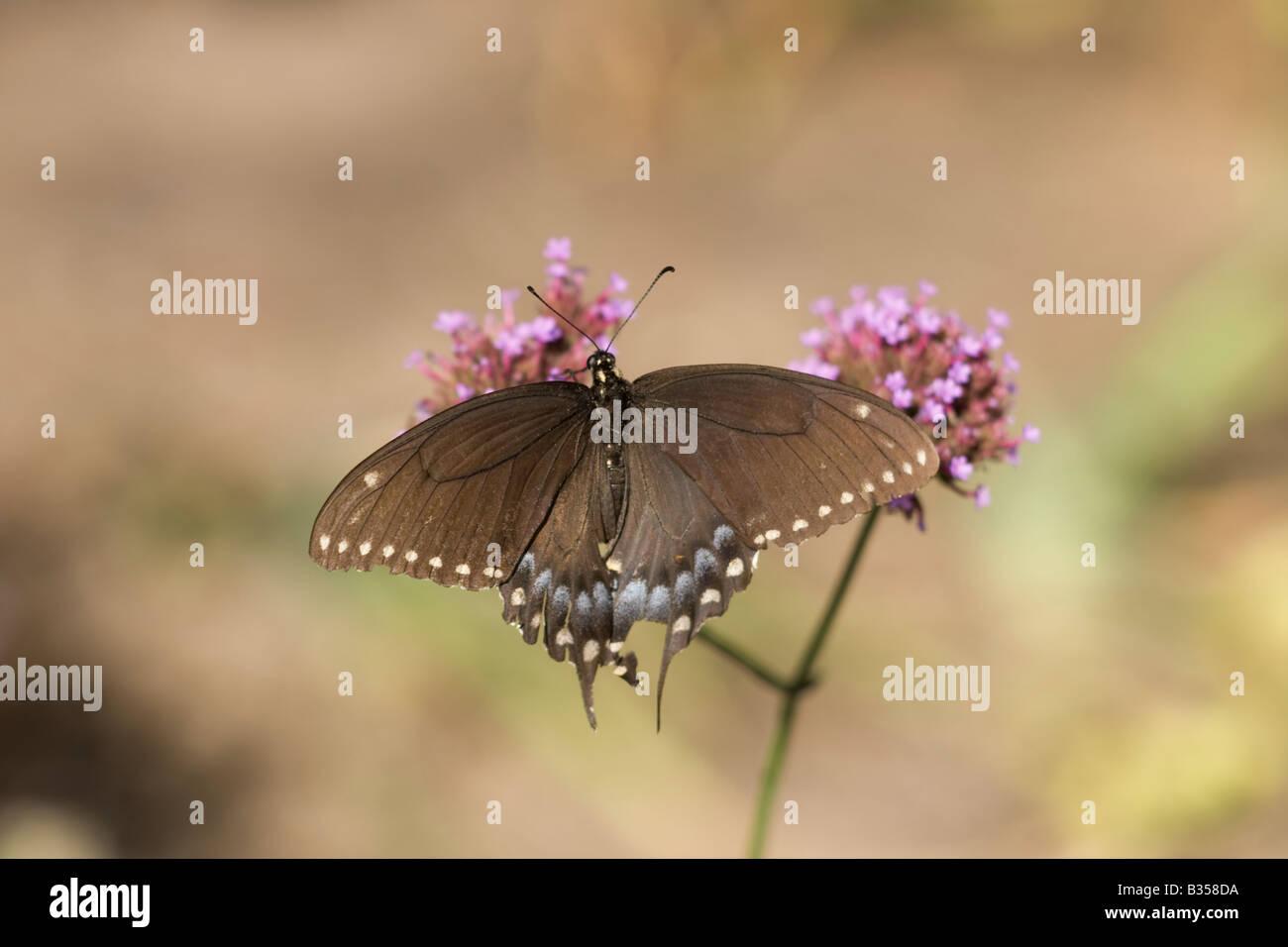Spicebush especie Papilio Troilo Foto de stock