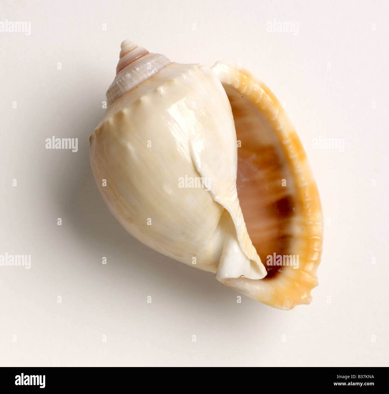 Seashell Imagen De Stock