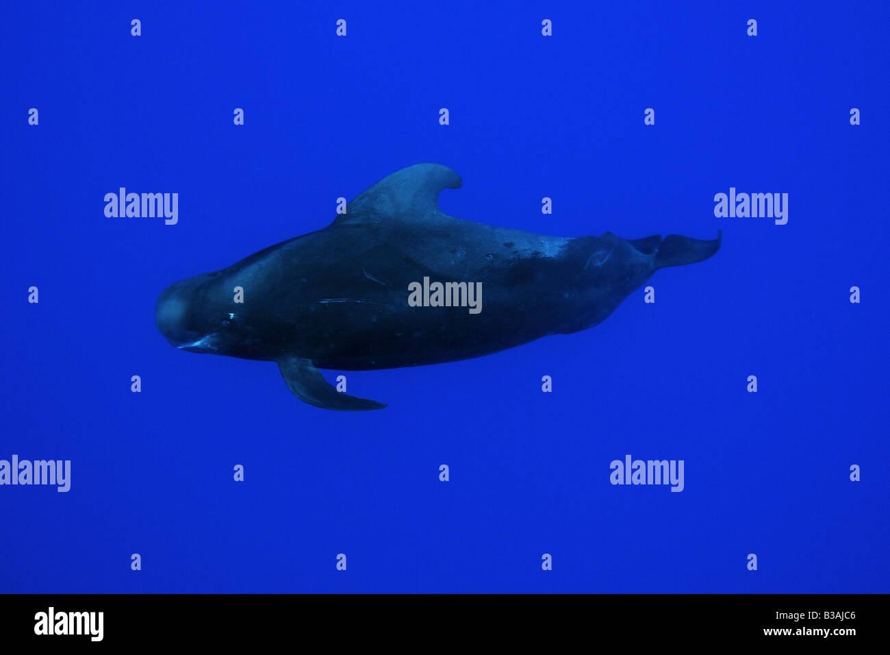 La ballena piloto de aleta corta Globicephala macrorhynchus Kailua Kona Hawai EE.UU. Foto de stock