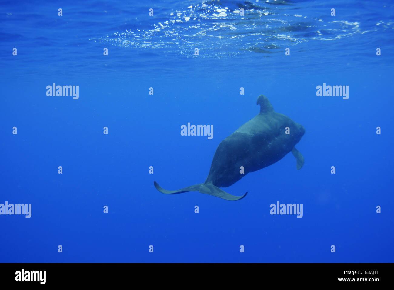 La ballena piloto de aleta corta Globicephala macrorhynchus Kailua Kona Hawai Foto de stock