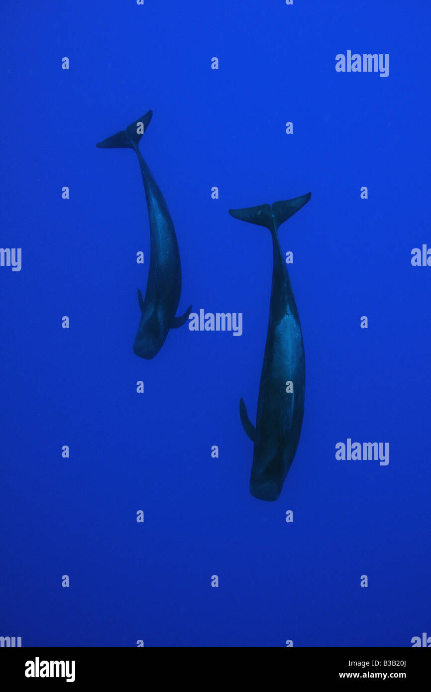 Las ballenas piloto de aleta corta Globicephala macrorhynchus Kailua Kona Hawai EE.UU. Foto de stock