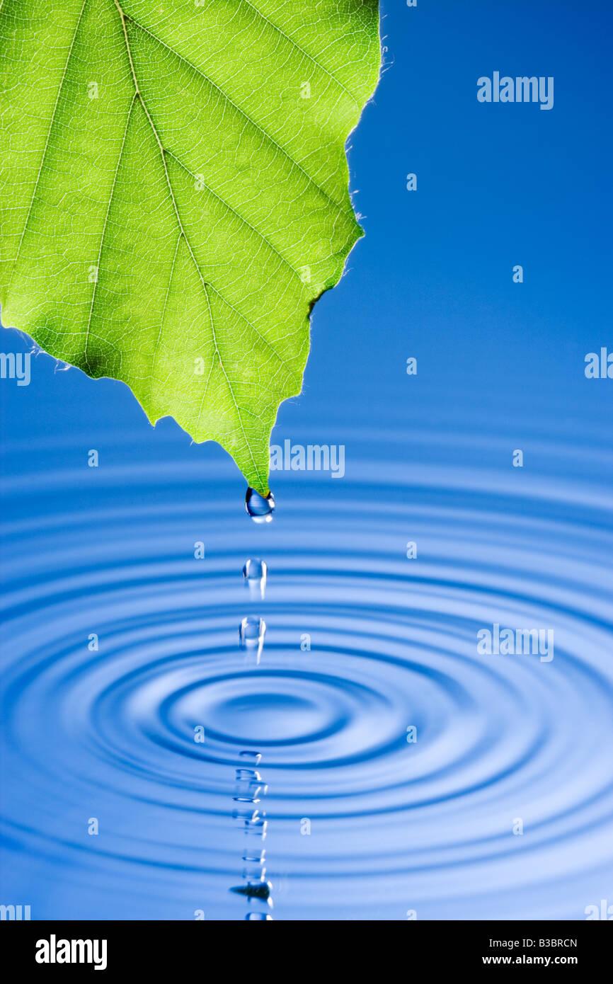 Las gotas de agua cayendo desde la hoja causando ondulaciones. Hoja de lenga. Imagen De Stock