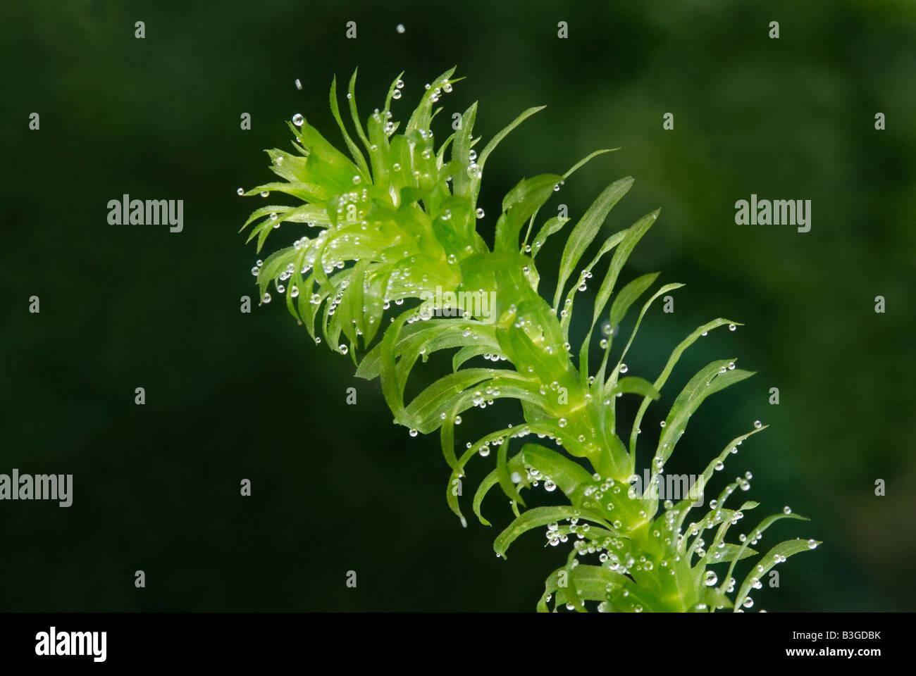 Ramita de la planta acuática Elodea, estanque weed produciendo oxígeno burbujas de la fotosíntesis Imagen De Stock