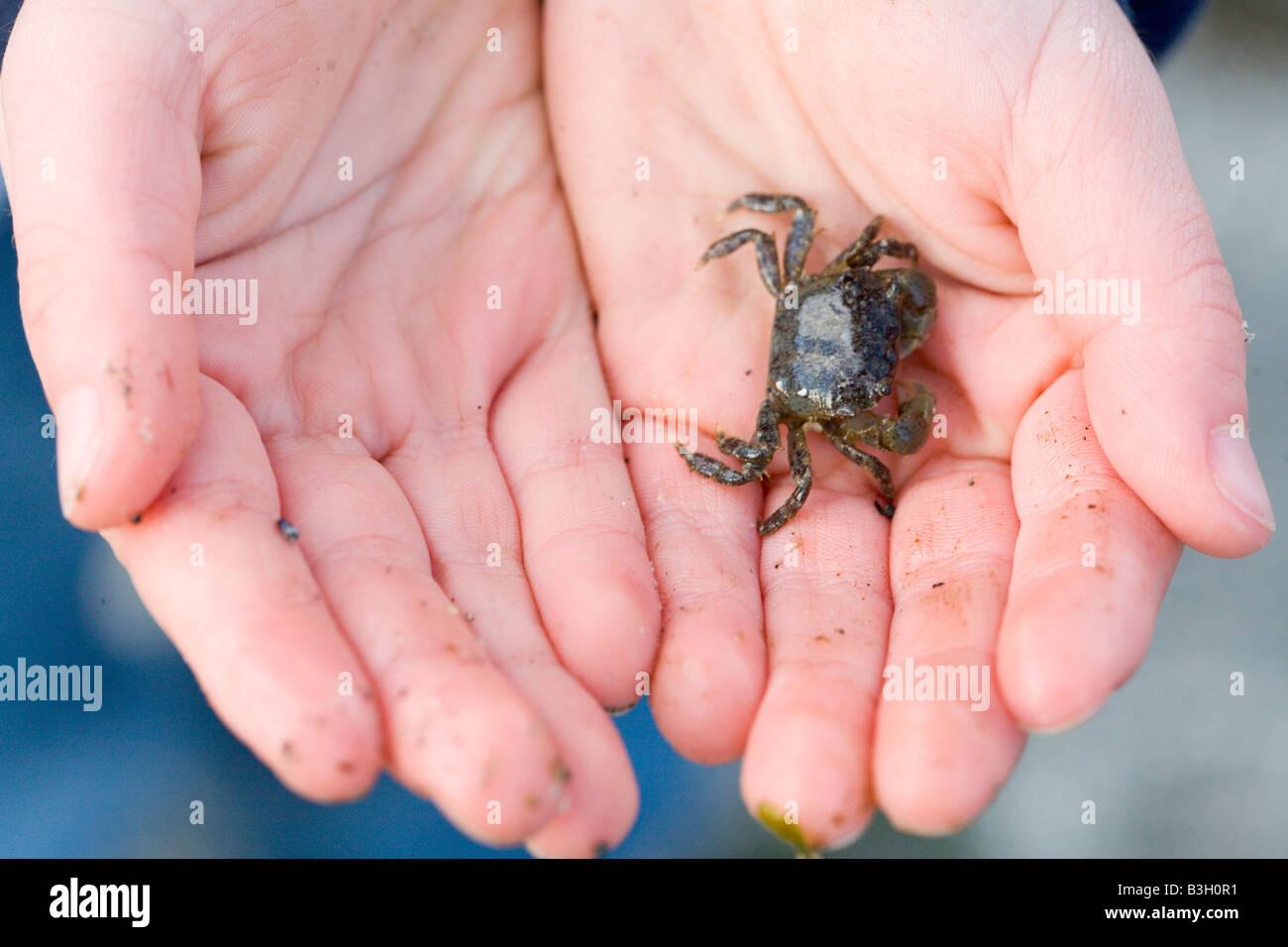 La mano que sujeta el cangrejo, close-up Imagen De Stock