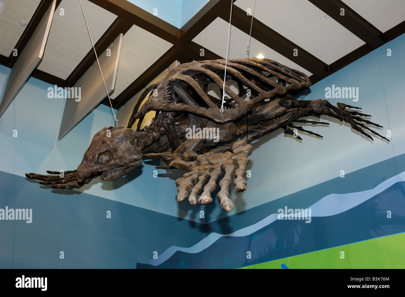 Archelon antiguo esqueleto de tortugas marinas desde el período Cretácico Florida Foto de stock