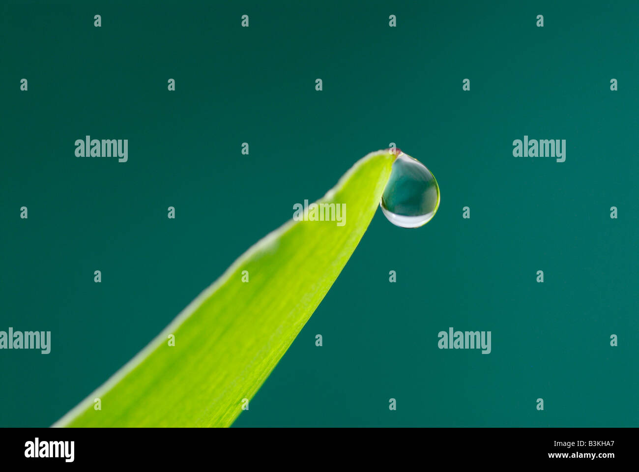 Guttation, una gota de agua que irradia desde una punta de hoja Imagen De Stock