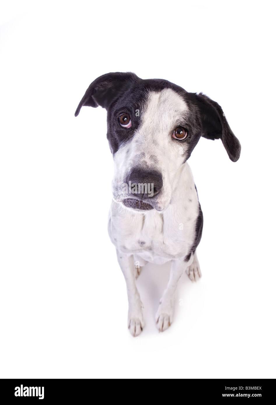 Tímidas o triste blanco y negro mix Great Dane perro con boca pouty aislado sobre fondo blanco. Imagen De Stock