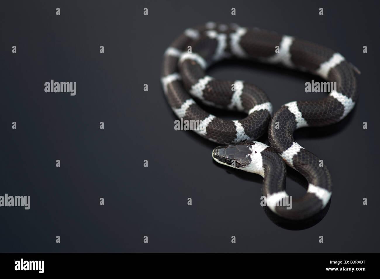 Lycodon septentrionalis. Lobo White-Banded juvenil serpiente sobre fondo oscuro Foto de stock