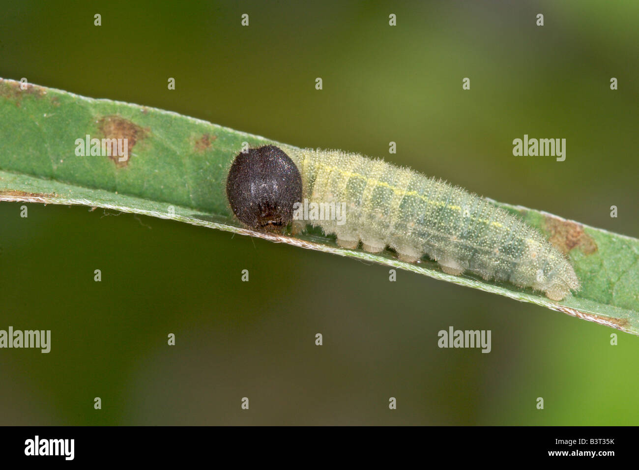 Norte Thorybes pylades Cloudywing Caterpillar Foto de stock