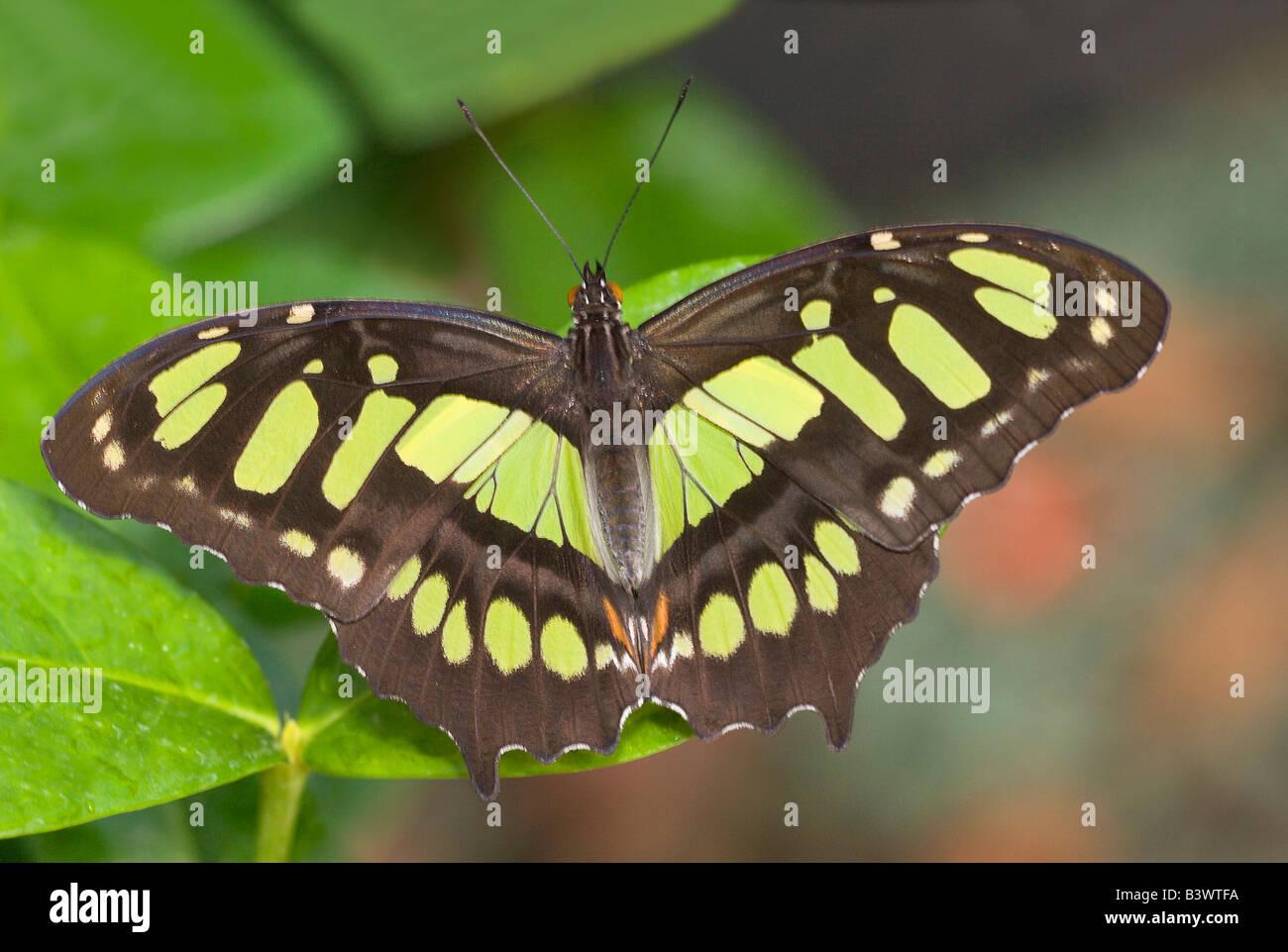Malaquita Siproeta stelenes (mariposas) en una hoja Foto de stock
