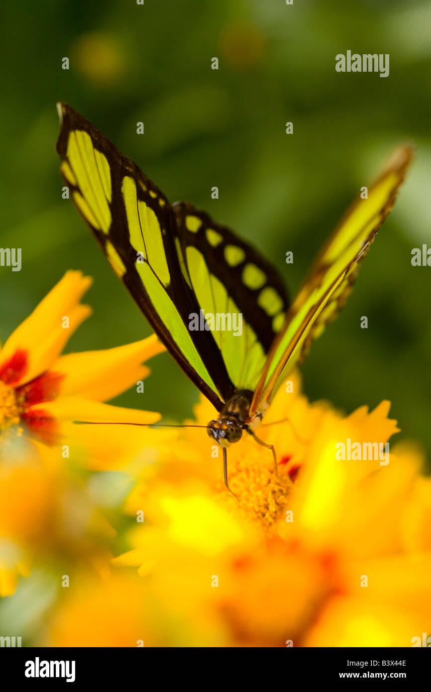 Malaquita mariposa sobre flor Foto de stock