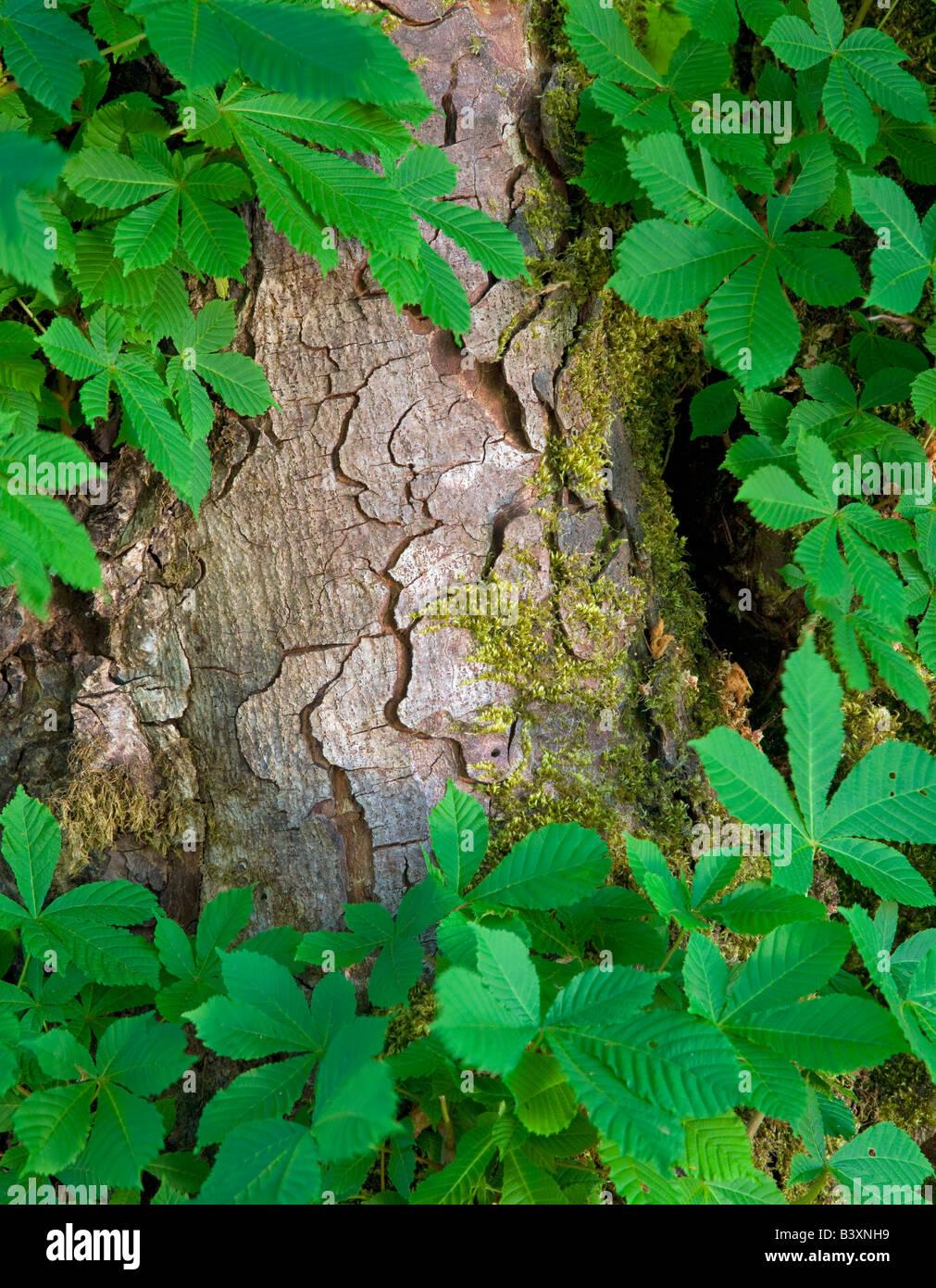 Tronco y hojas de árbol de castaña de caballo Parque Nacional Olímpico en Washington Foto de stock