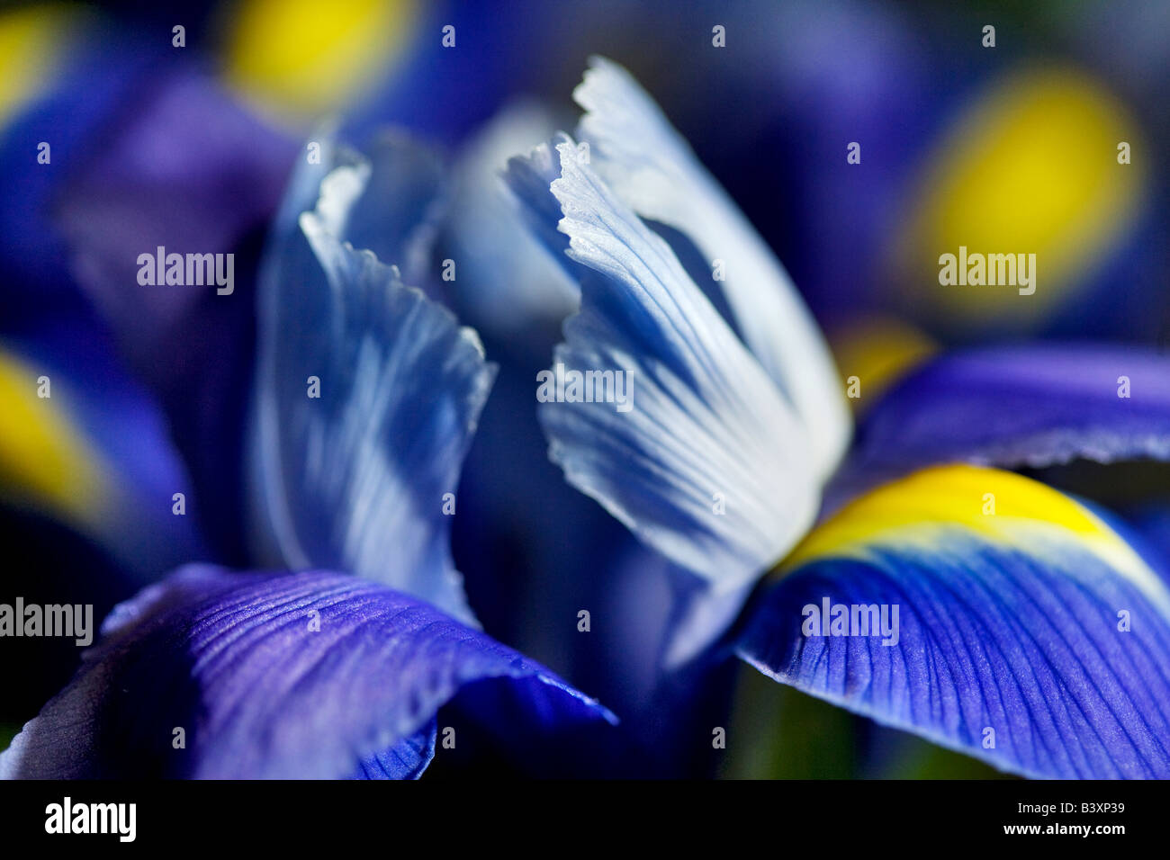 Cierre de flor de iris Foto de stock