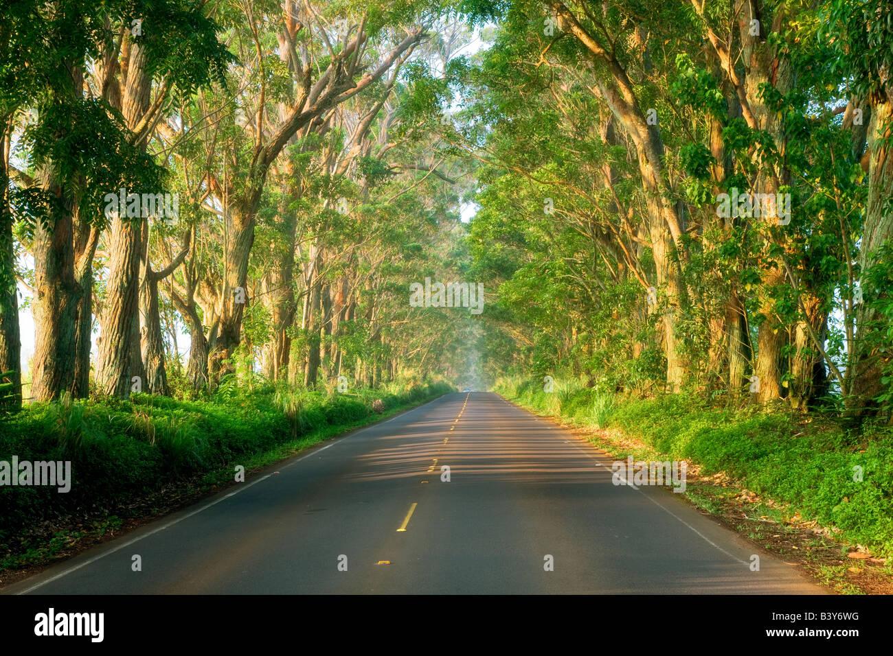 Tunel de árboles árboles eucalipto en Kauai Hawaii Imagen De Stock