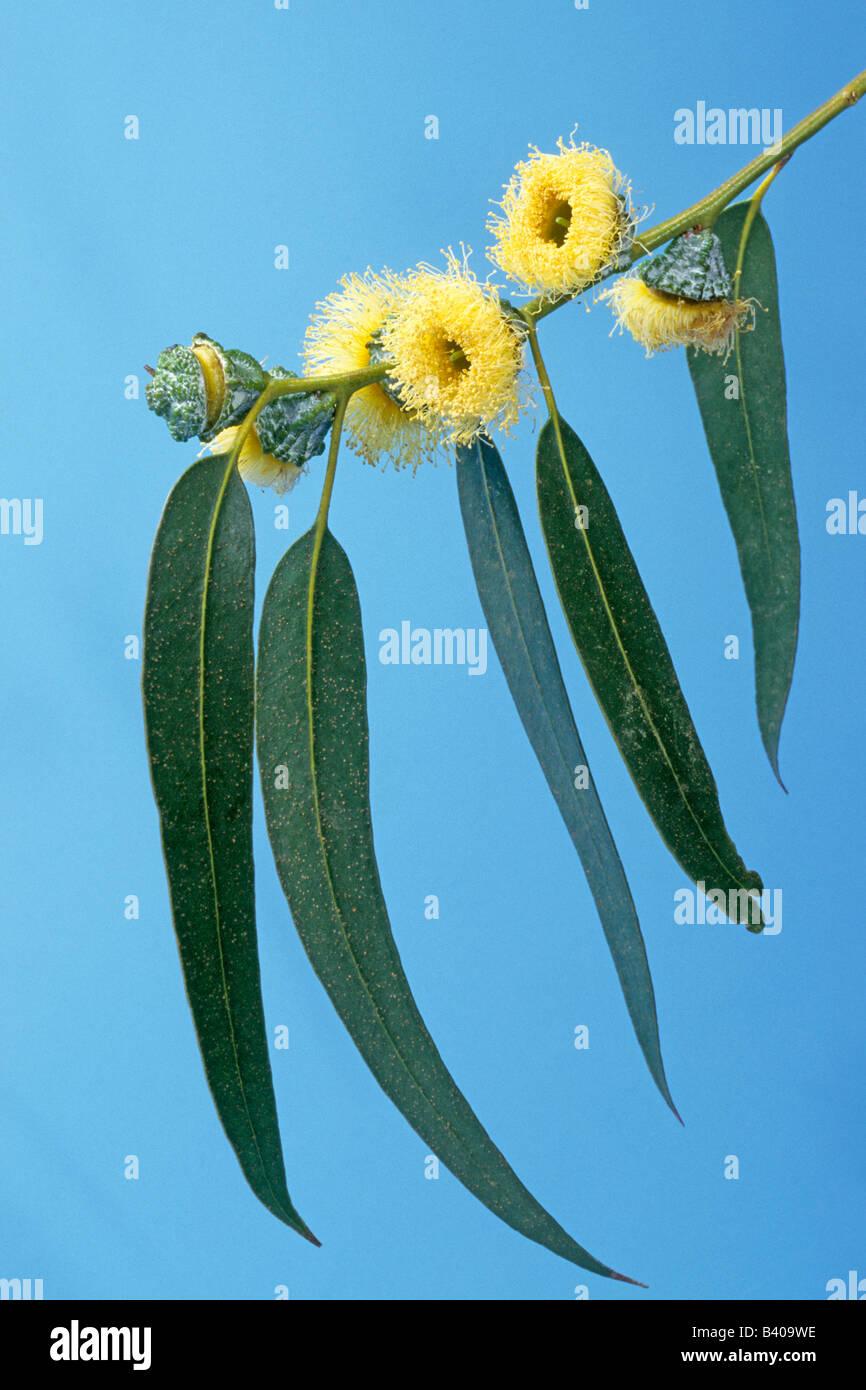 Blue Gum de Tasmania, Blue Gum eucalipto (Eucalyptus globulus), hojas y flores. Imagen De Stock