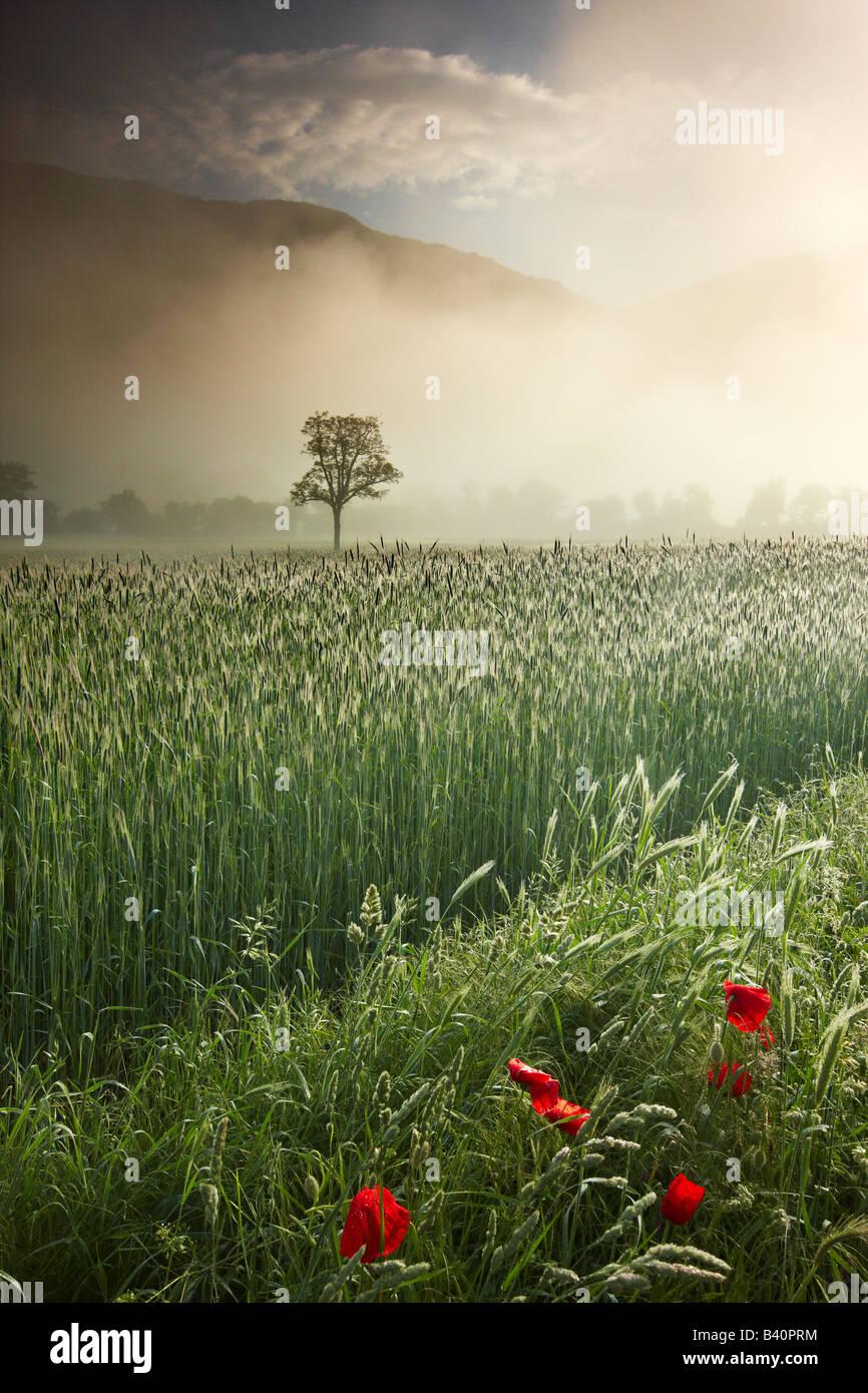 Mist mintiendo sobre los campos de cebada y amapolas alrededor de Campi, Valnerina, Monti Sibillini National Park, Imagen De Stock