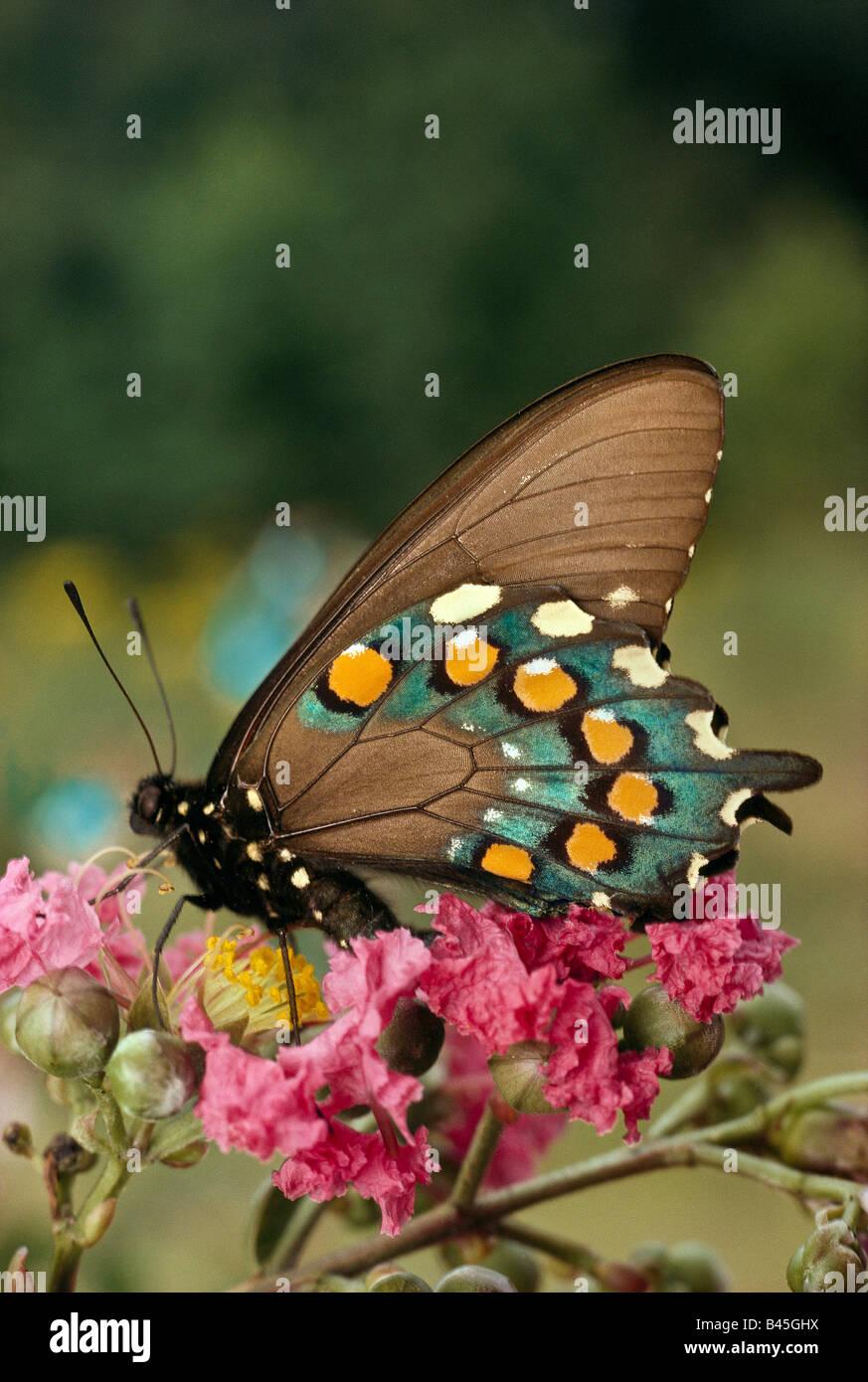 Especie Spicebush, mariposas Papilionidae Papilio: Troilo, saboreando el néctar. Foto de stock