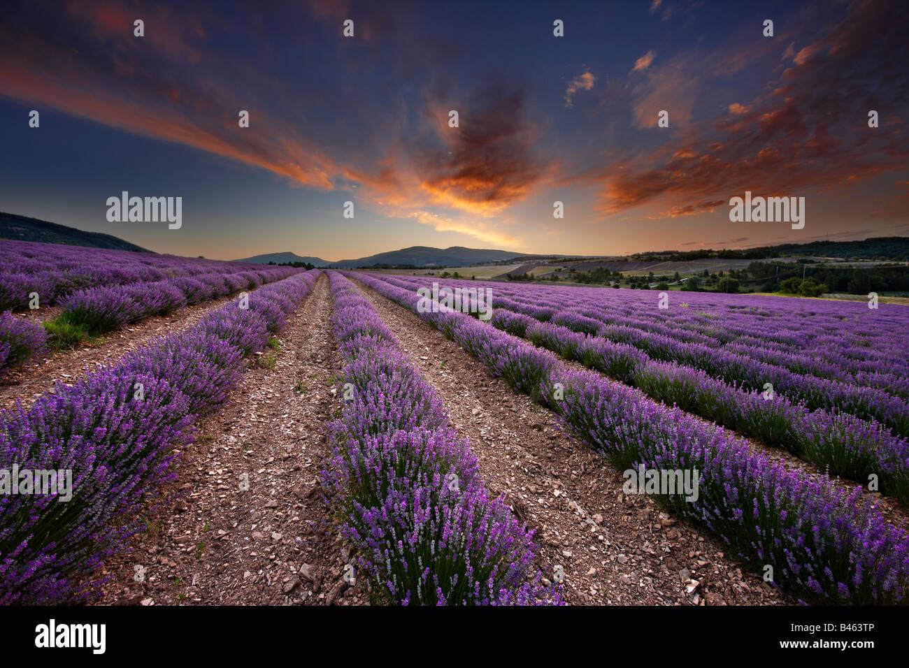 Amanecer en un campo lila nr Sault, Vaucluse, Provenza, Francia Imagen De Stock
