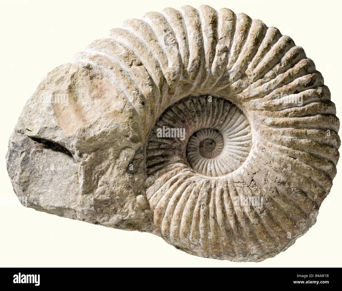 Un gran Ammonita, Cretáceo, edad de alrededor de 120 millones de años de conchas fosilizadas un enorme Imagen De Stock