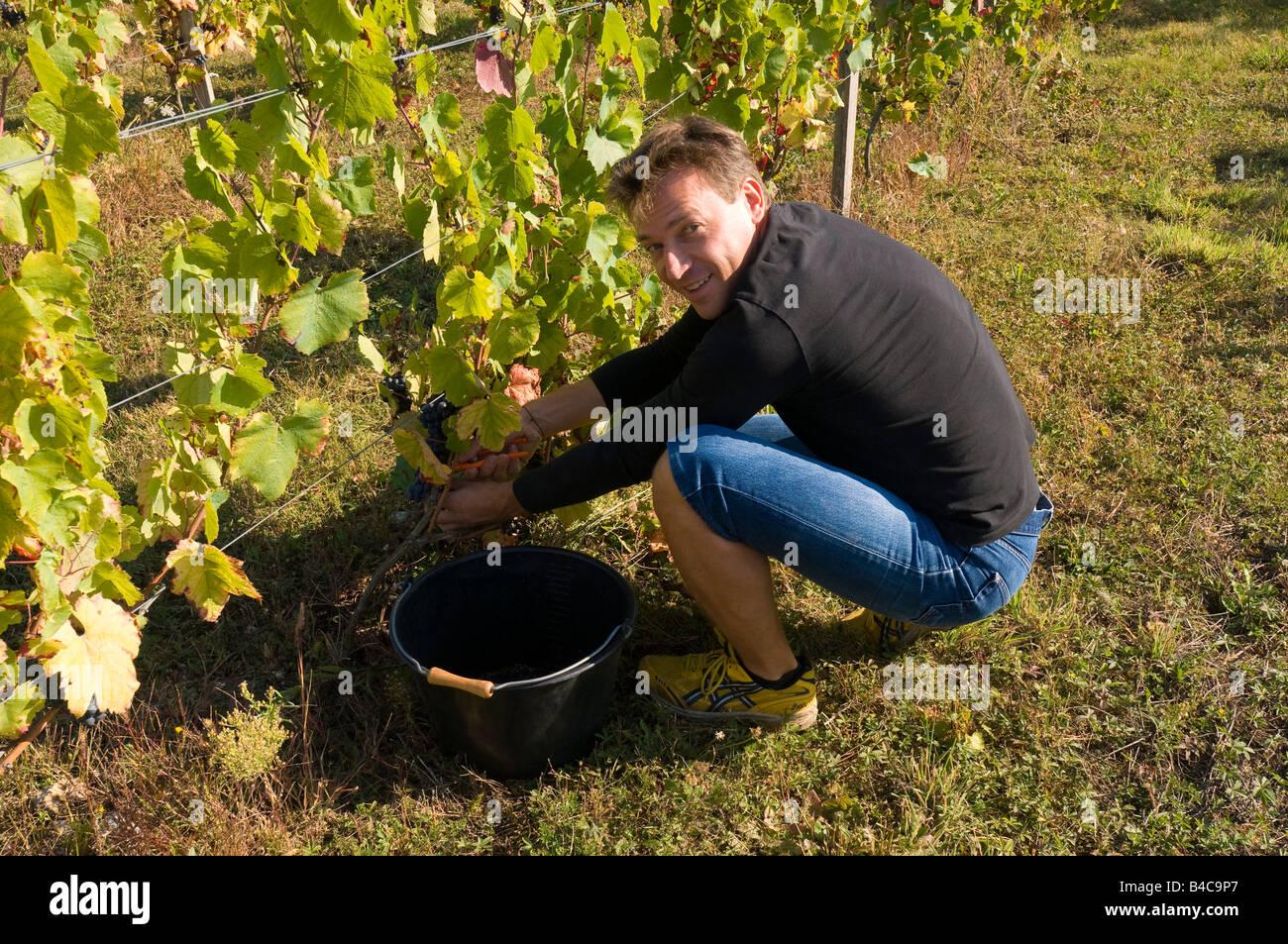 Joven cosecha de uvas Pinot Noir, sud-Touraine, Francia. Imagen De Stock