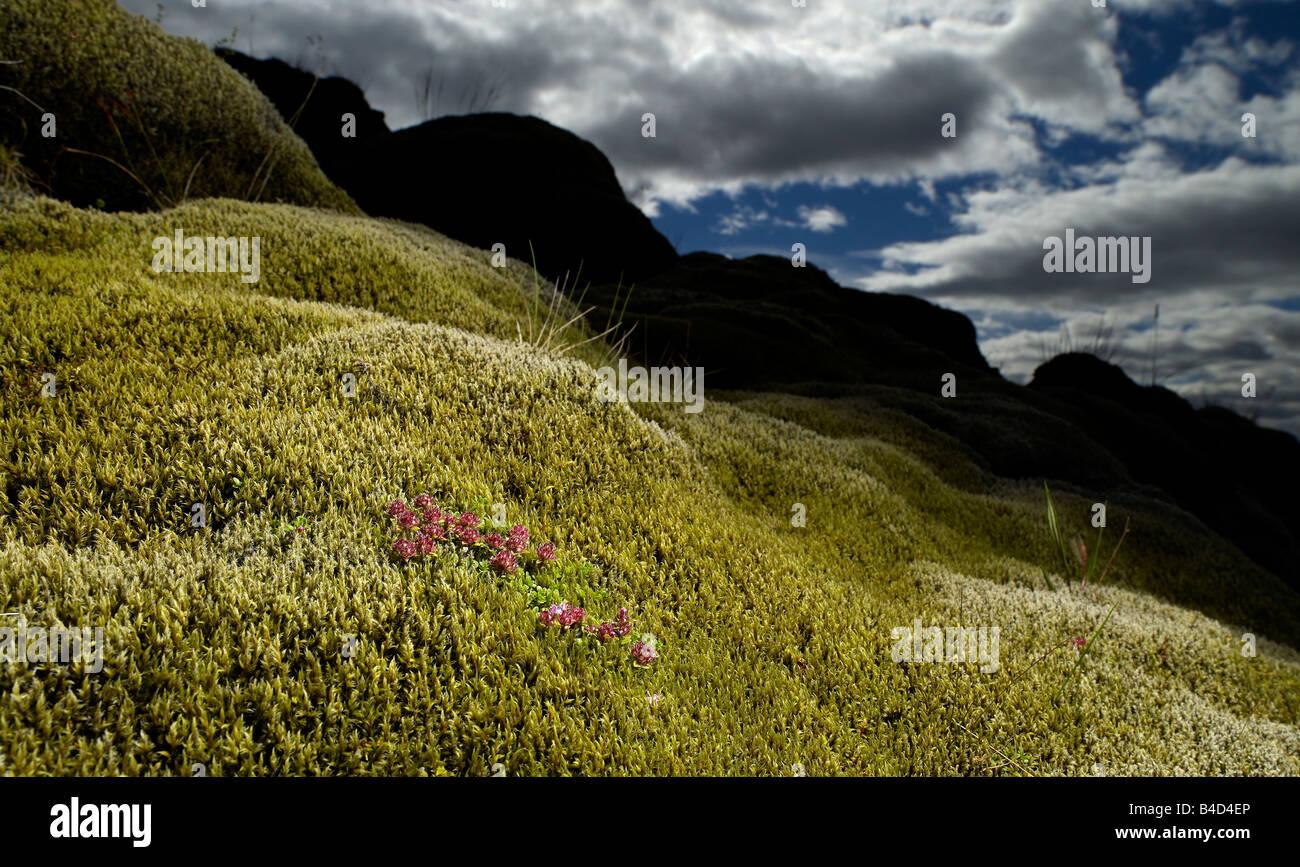Lava cubiertas de musgo con flores que crecen, costa sur de Islandia Imagen De Stock