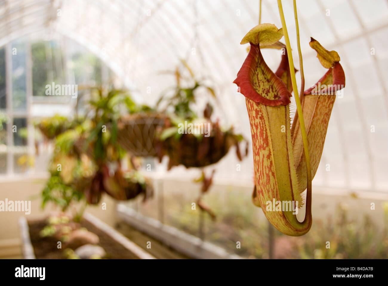 Cerca de Nepenthes Pitcher planta crece en un invernadero del siglo XVIII en el Jardín Botánico de Valencia Imagen De Stock