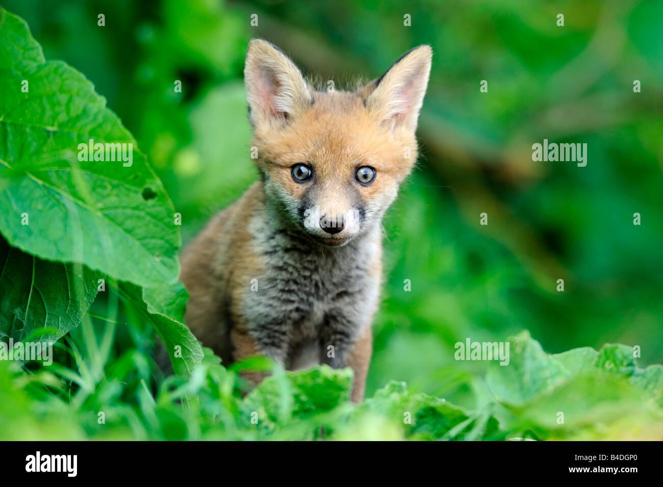 Cachorro de zorro rojo Imagen De Stock
