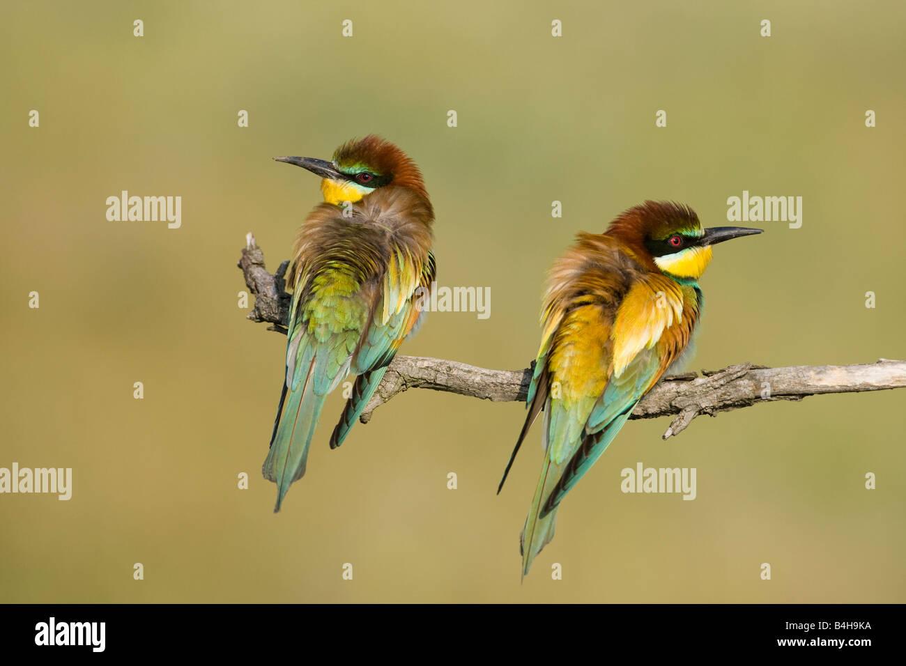 Close-up de dos europeos abejarucos (Merops apiaster) donde se posan en la rama, Hungría Foto de stock