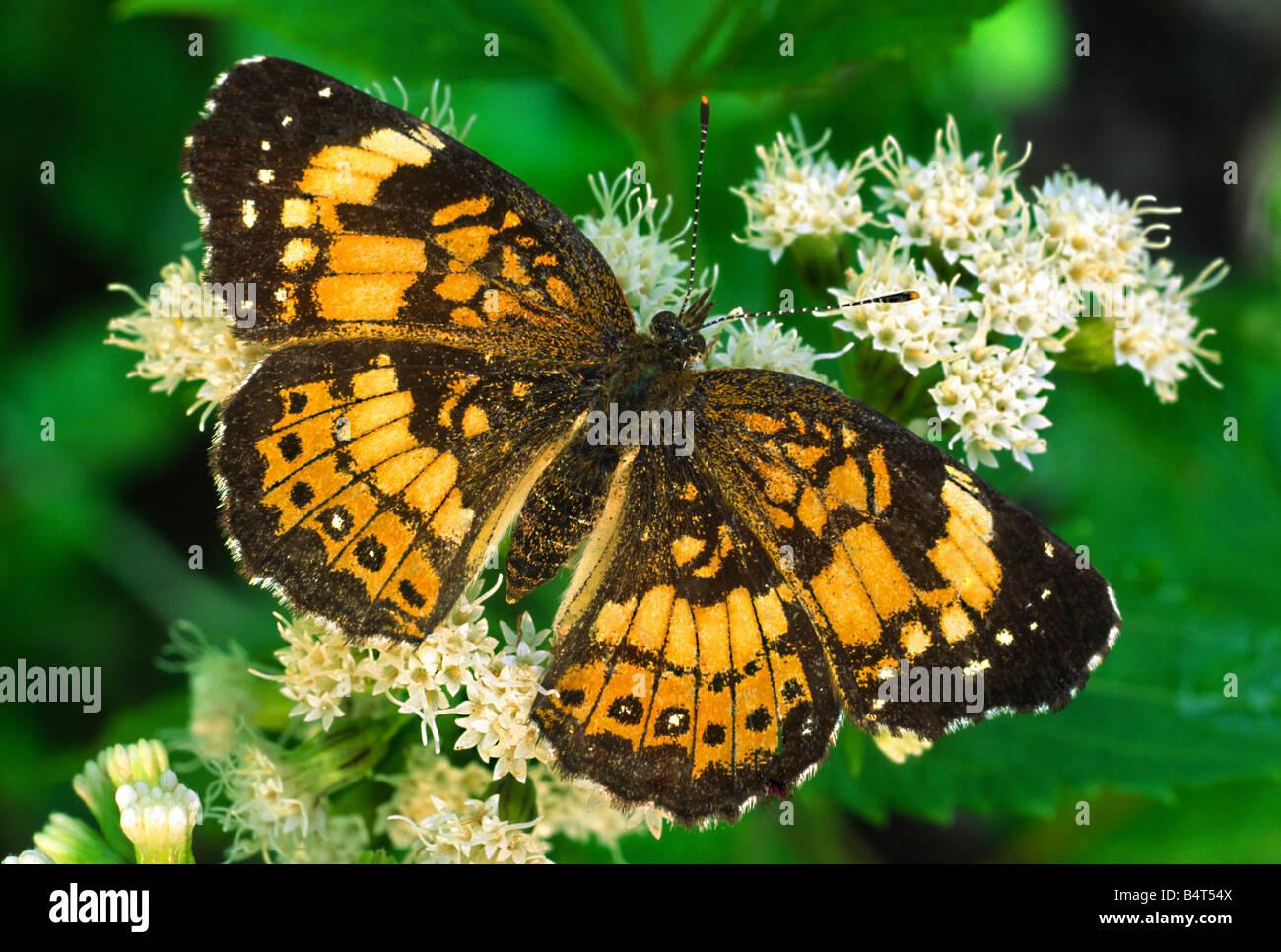 Plateado (Chlosyne nycteis Checkerspot Butterfly), por Gary Meszaros/Dembinsky Foto Assoc Foto de stock