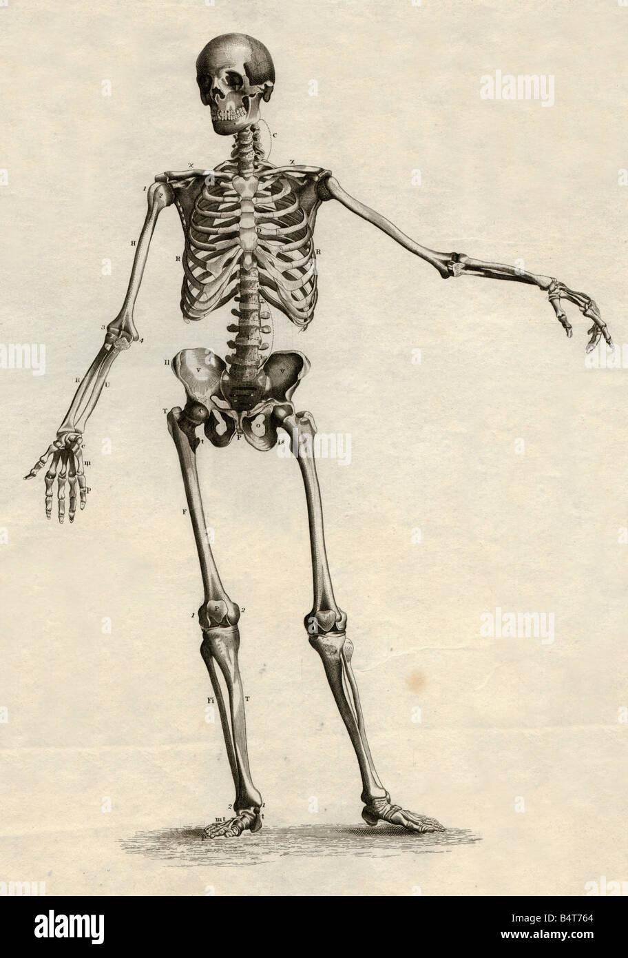 La medicina, anatomía, esqueleto / Huesos, esqueleto, acero grabado ...