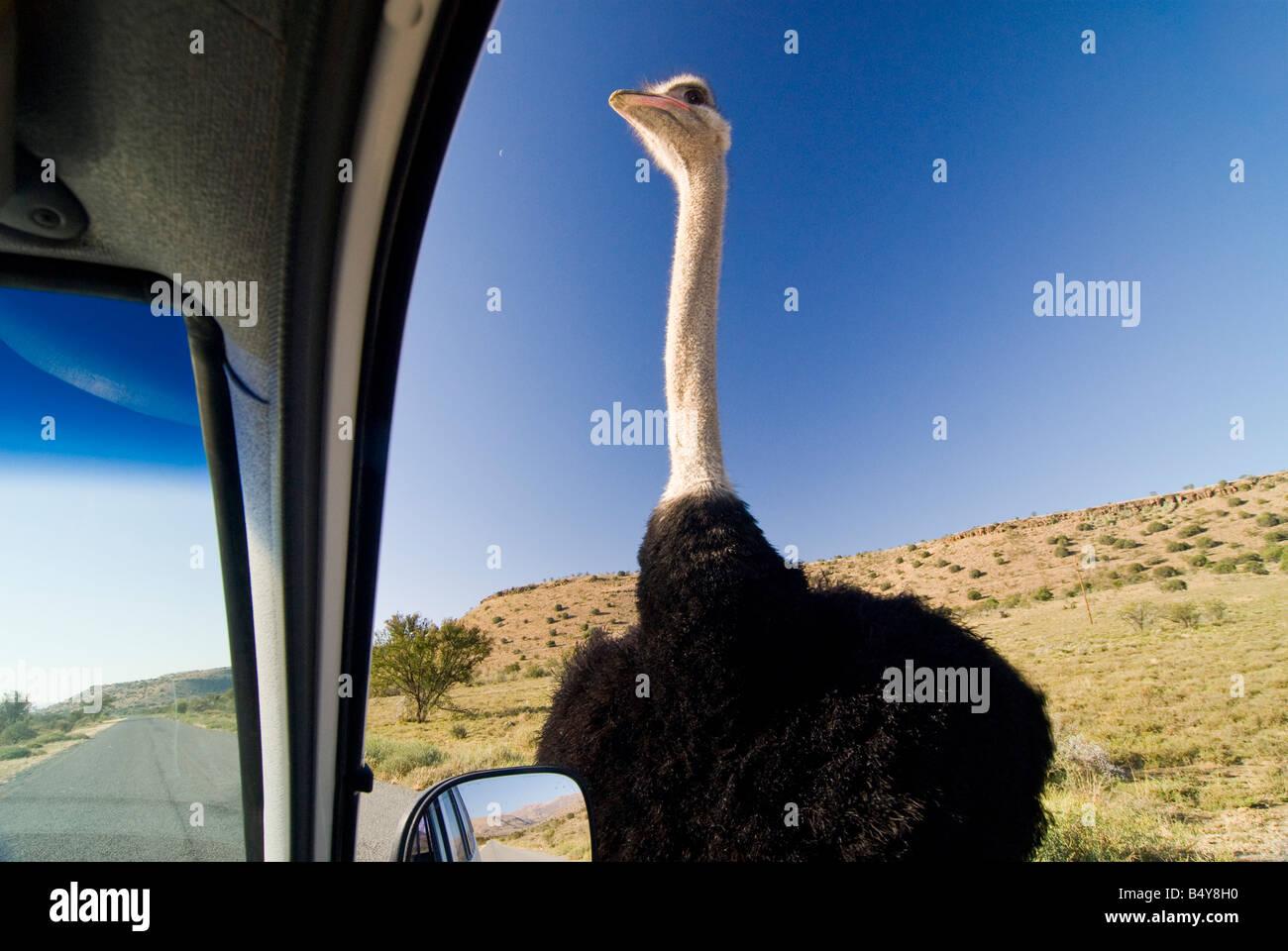 El avestruz, el parque nacional cebra de montaña, Eastern Cape, Sudáfrica Imagen De Stock