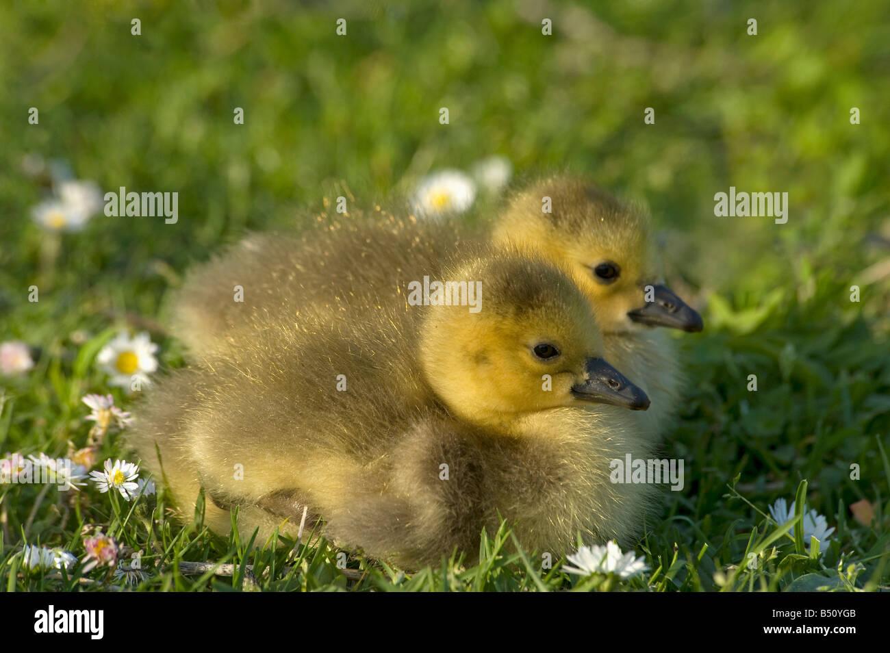 Dos goslings Canadá ganso Branta canadensis sentarse en el césped al final del día en el Jardín Imagen De Stock