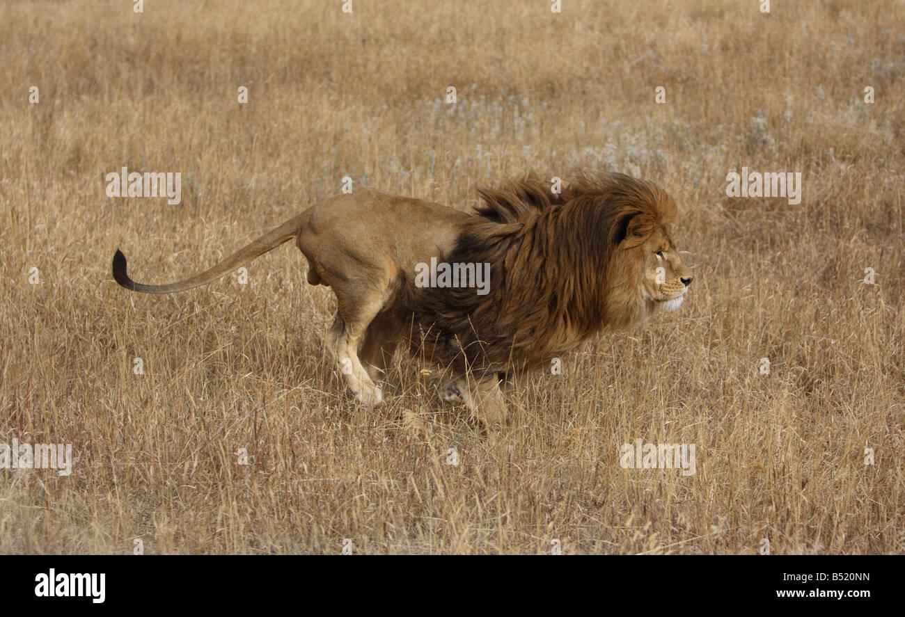 León Africano ejecuta a través de la hierba alta. Imagen De Stock
