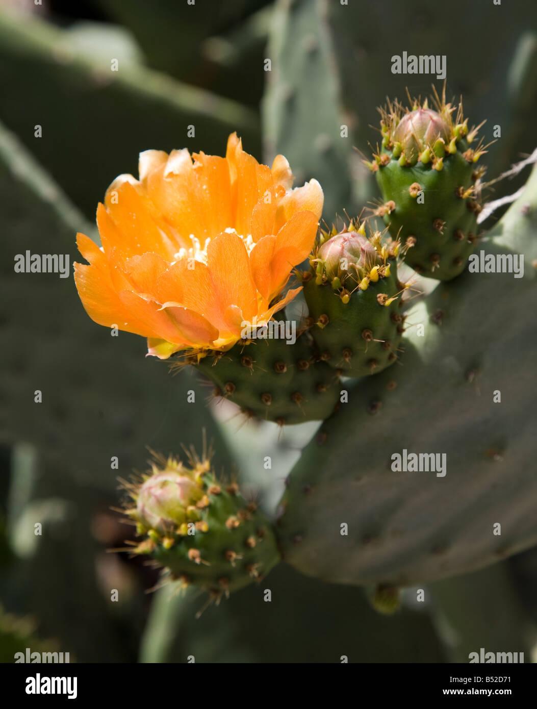 Nopal (Opuntia) en flor Gran Canaria Imagen De Stock