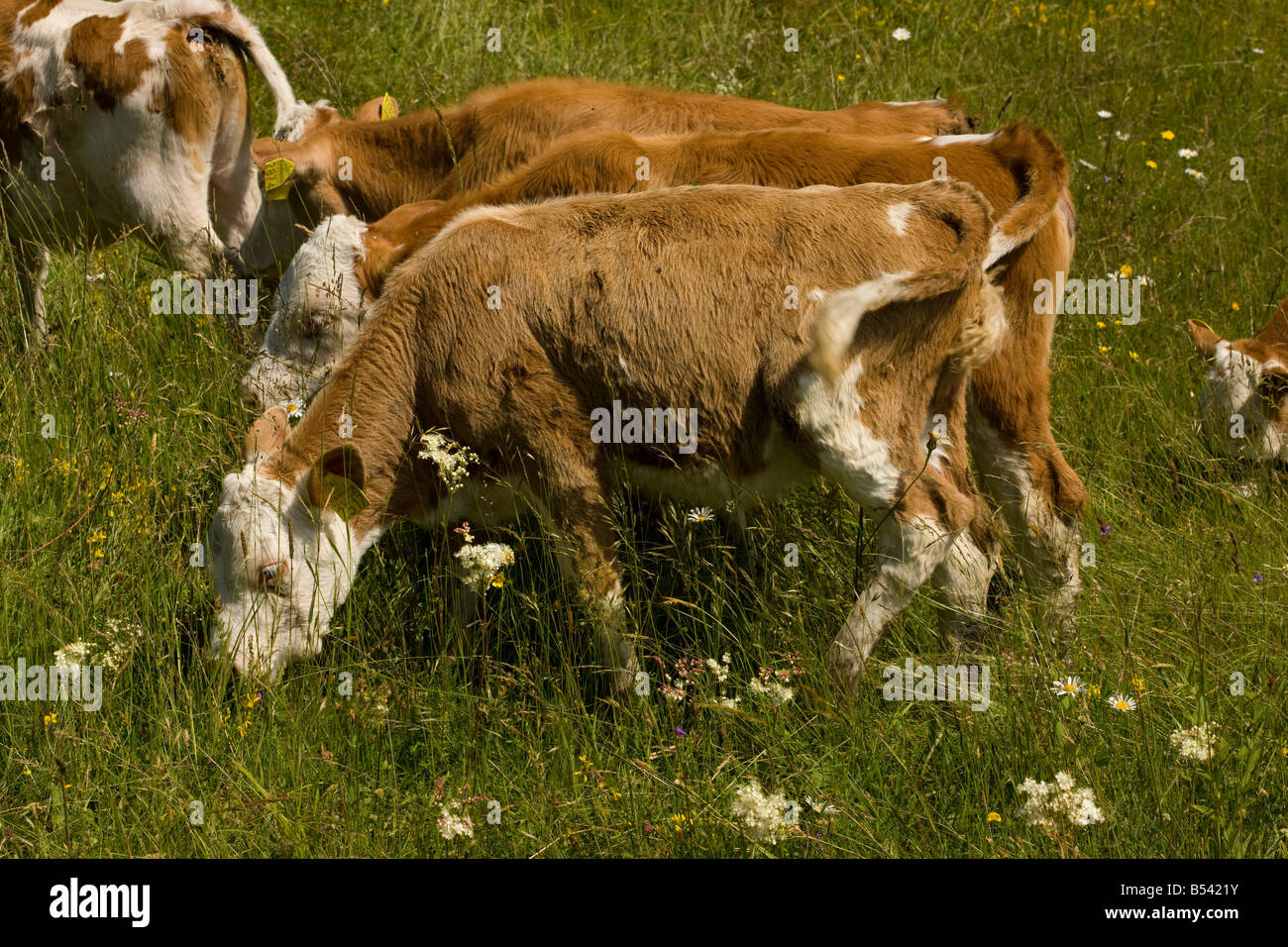 Bueyes pastan floridos prados no mejorado Transilvania Rumania Imagen De Stock