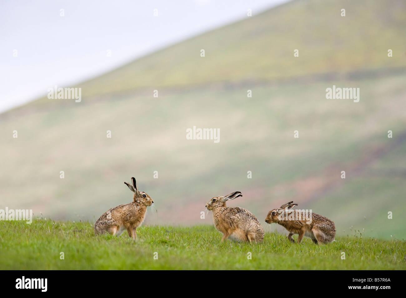 Liebres marrones (Lepus europaeus), Bajar Fairsnape granja, Bleasdale, Lancashire, Inglaterra, Reino Unido, Europa Imagen De Stock