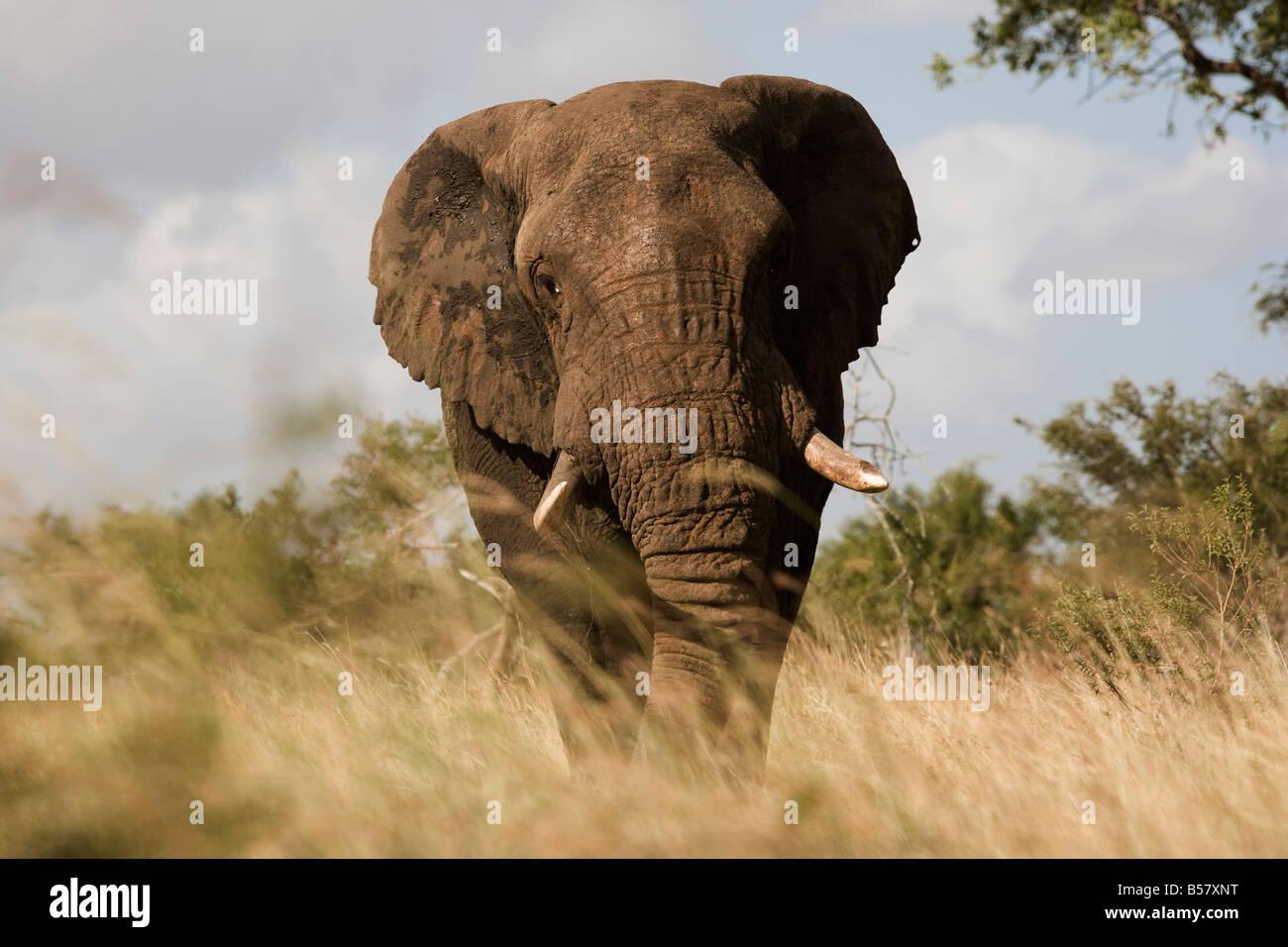 Bull del elefante africano (Loxodonta africana), el Parque Nacional Kruger, Mpumalanga, Sudáfrica, África Imagen De Stock