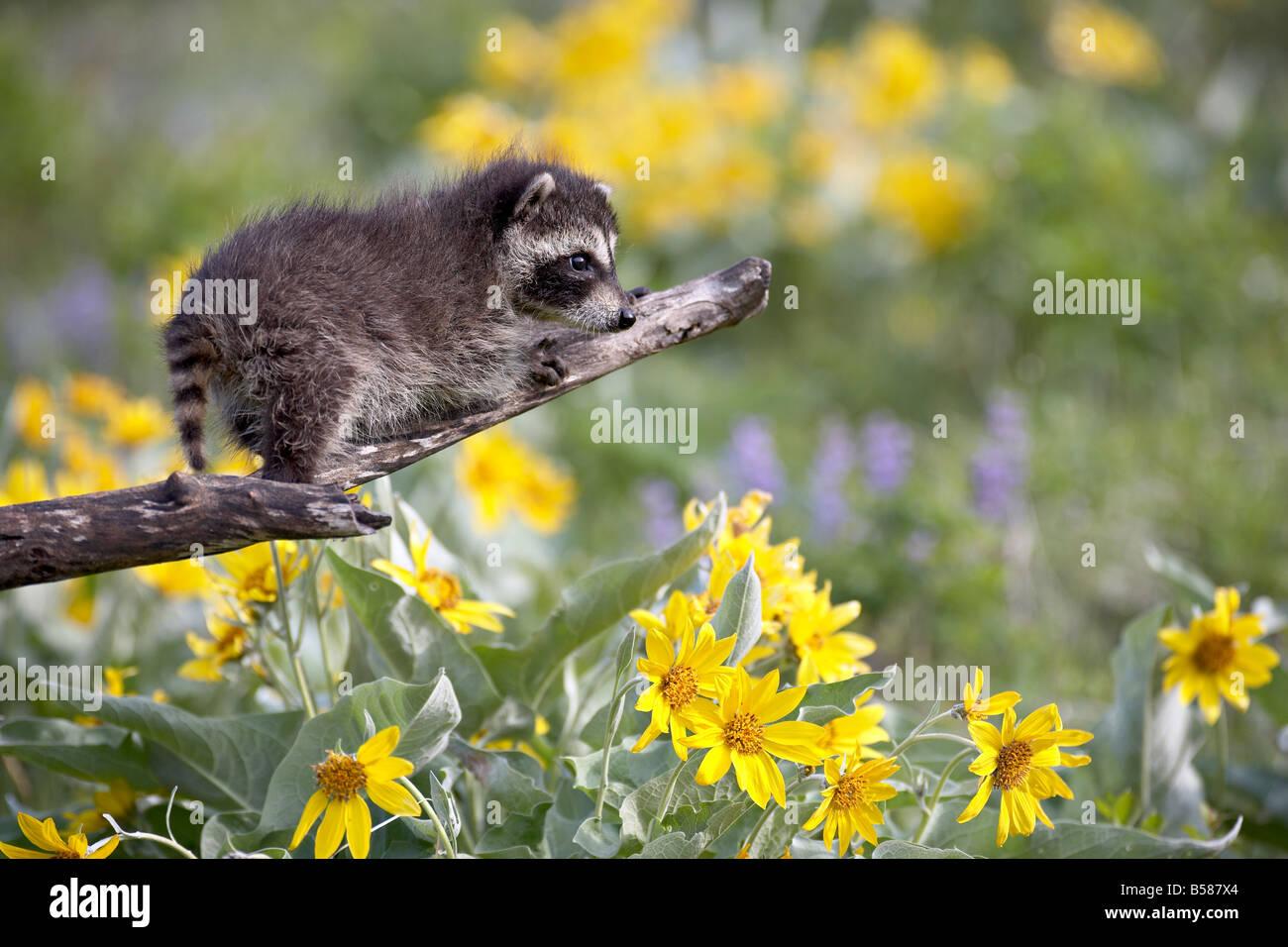 Bebé mapache (Procyon lotor) en cautividad, los animales de Montana, Bozeman, Montana, Estados Unidos de América, Imagen De Stock