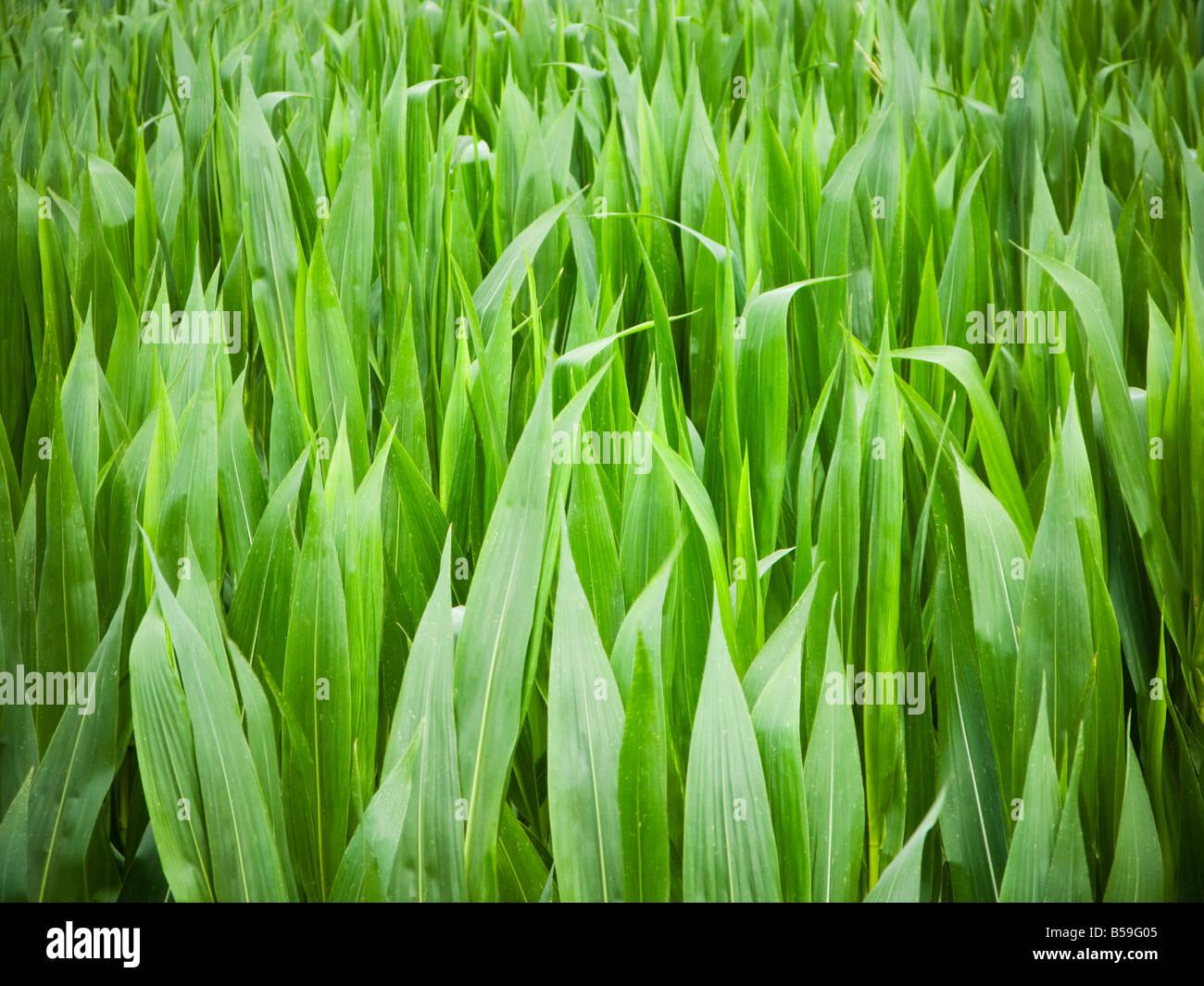 Los cultivos de maíz de maíz cerrar Imagen De Stock