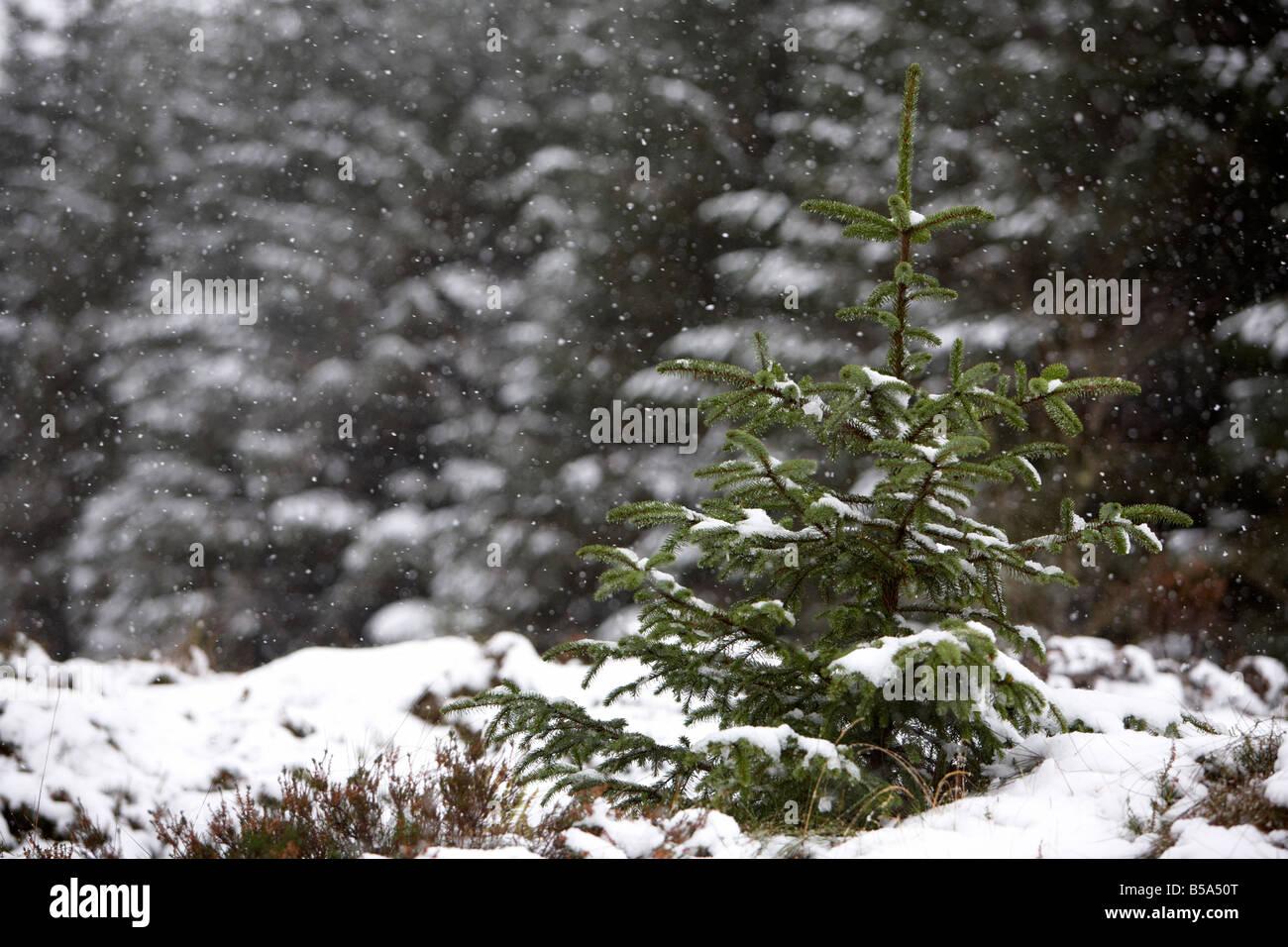 La nieve caída en el joven retoño de coníferas perennes pinos en un bosque en el condado de Antrim Reino Unido Irlanda del Norte Foto de stock