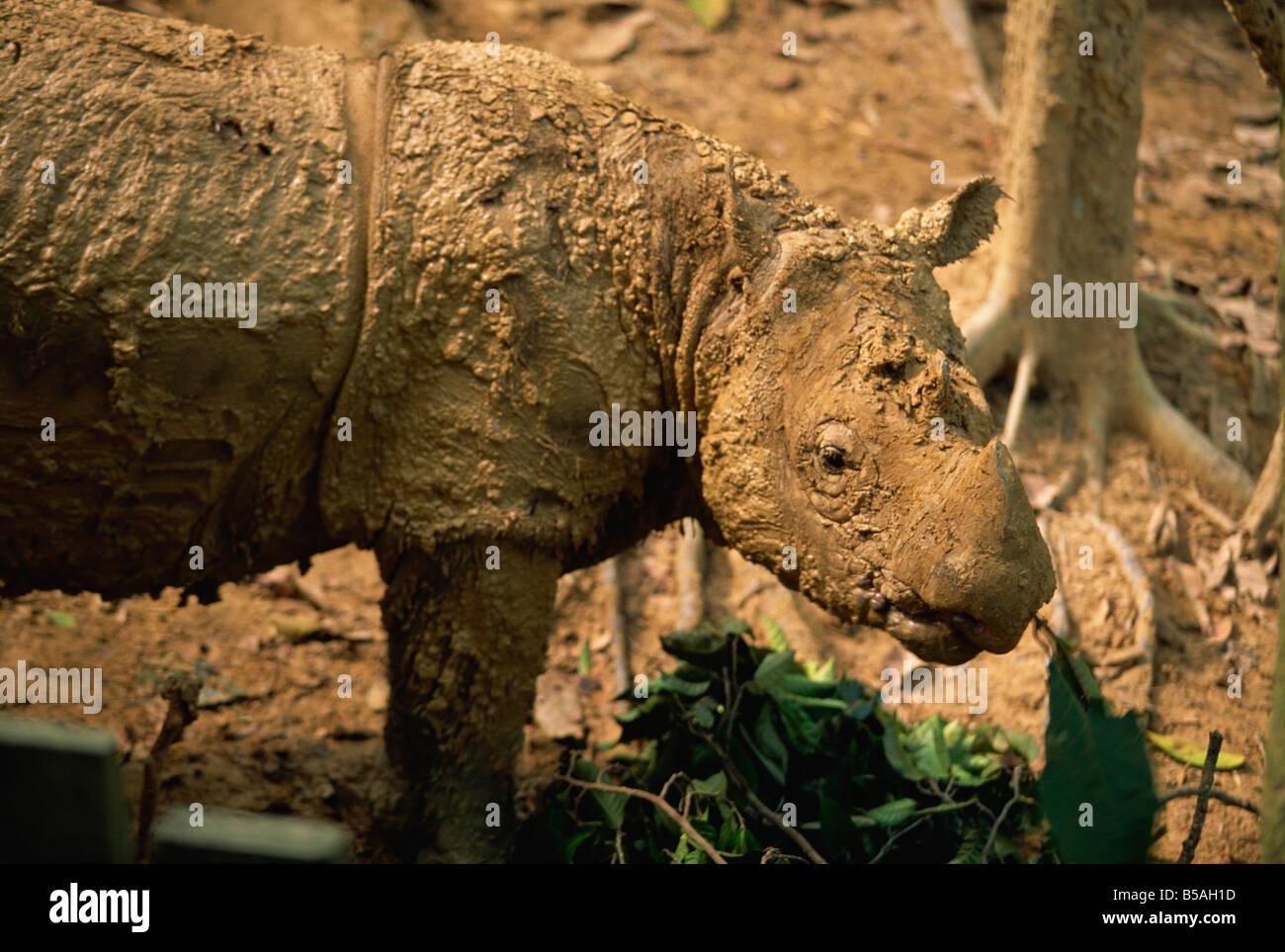 El raro rinoceronte peludo, el tipo más pequeño de rinocerontes en Sepilok Orang-Utan Santuario, cerca Imagen De Stock