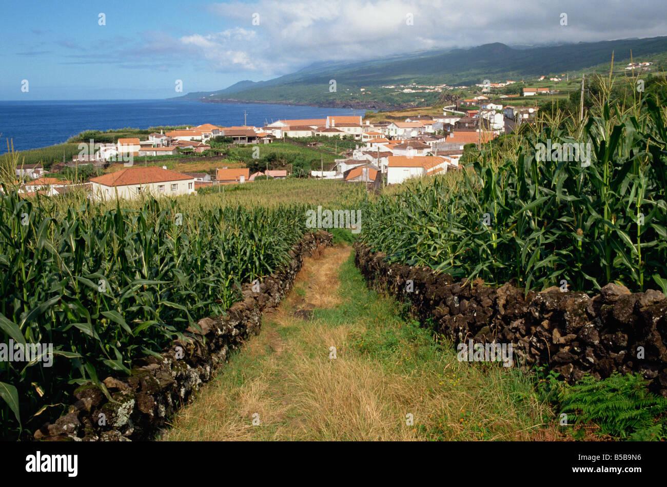 Los campos de maíz en la Ribeira do Meio Pico Azores Portugal Europa Atlántica Imagen De Stock