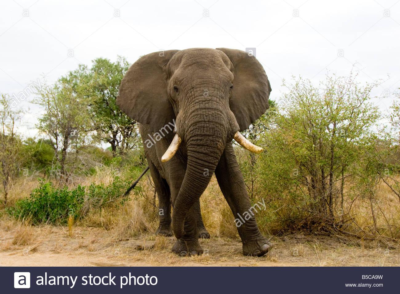 Bull Elephant Parque Nacional Kruger Sudáfrica Imagen De Stock