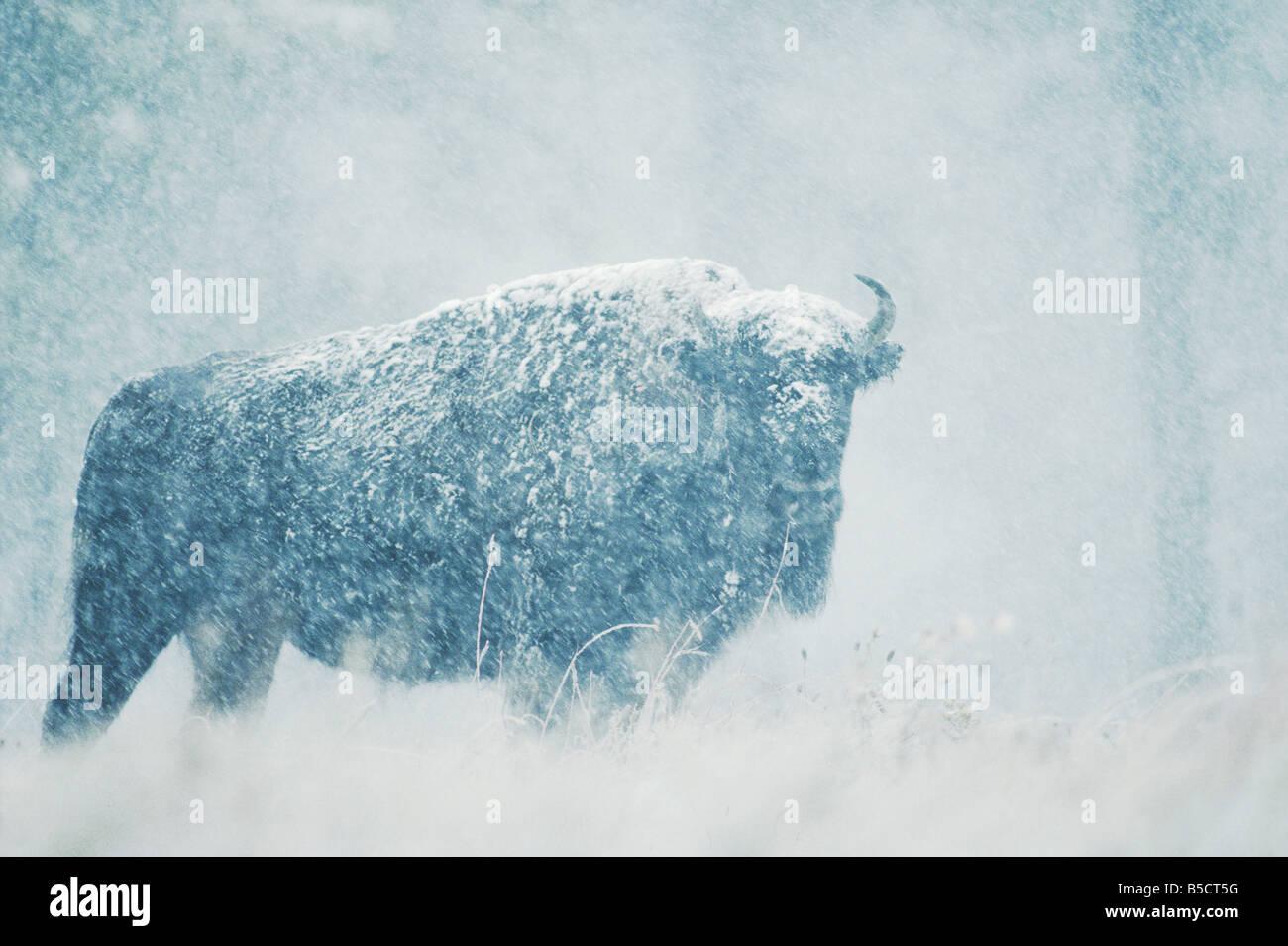 American Buffalo Bison Bison bison adulto en tormenta de nieve Custer State Park, South Dakota, EE.UU. Imagen De Stock