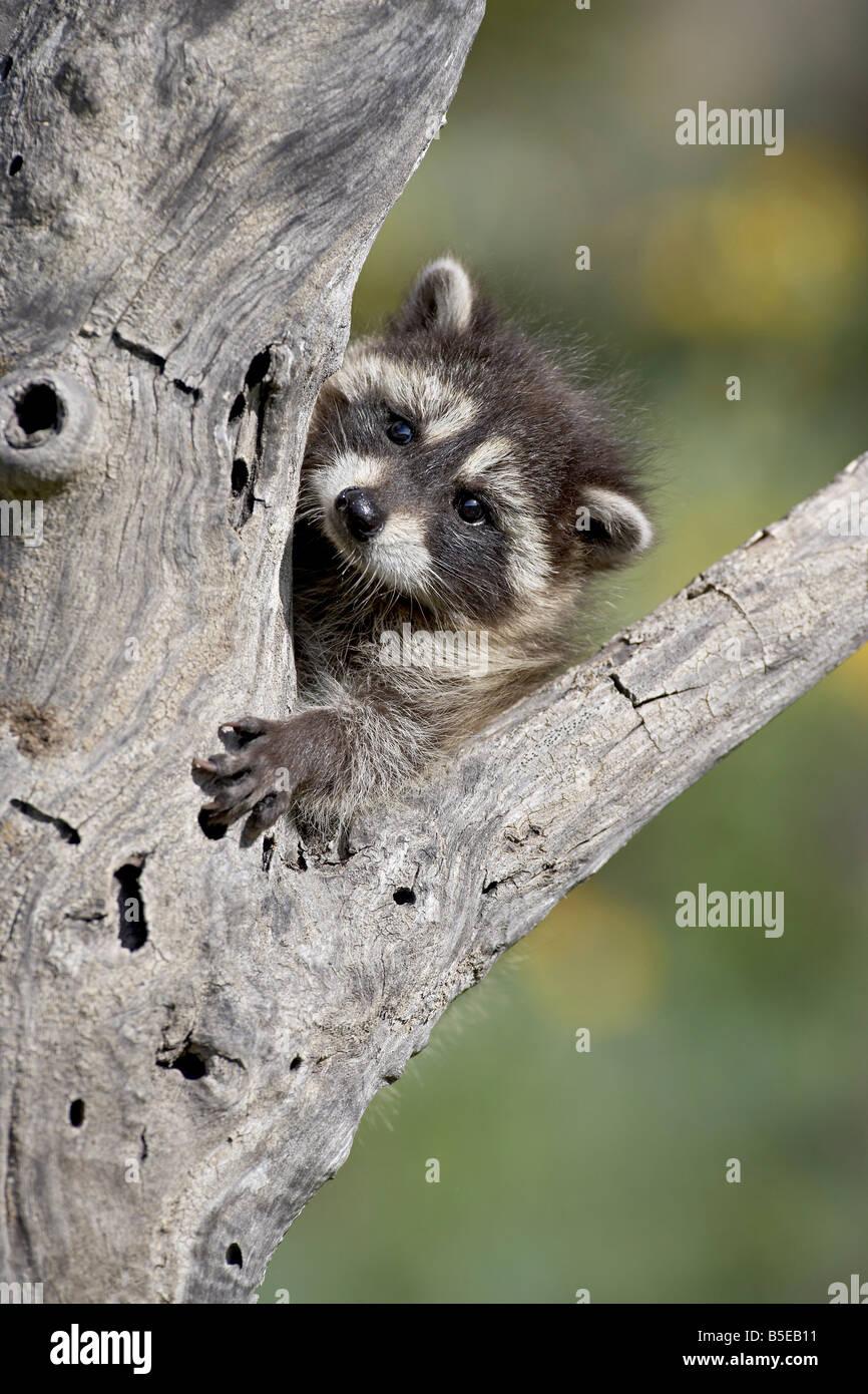 Bebé mapache (Procyon lotor) en cautividad, los animales de Montana, Bozeman, Montana, Estados Unidos, América Imagen De Stock