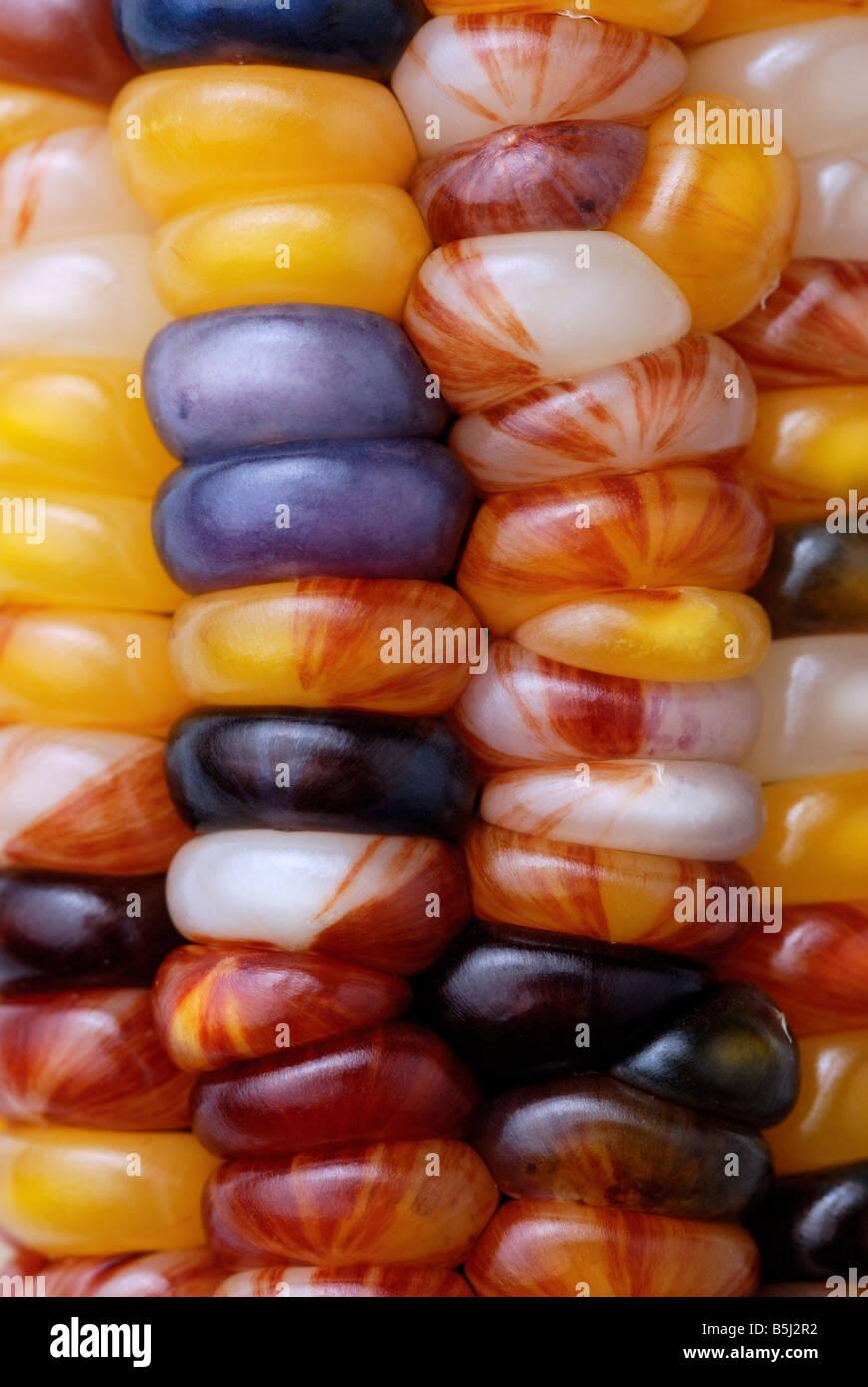 Colorido colorido Indio Maíz, maíz, close-up Imagen De Stock