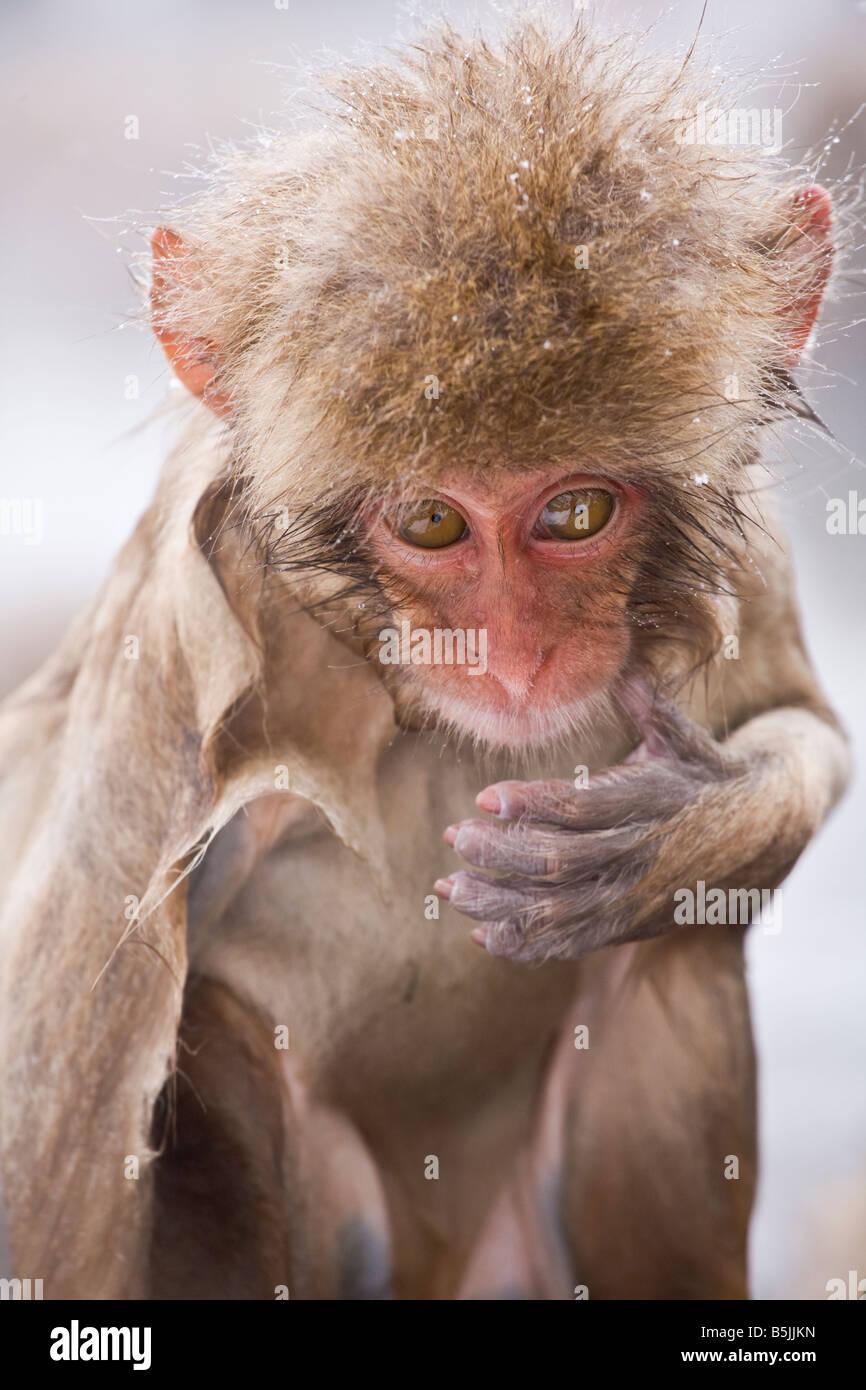Mono de nieve en el Parque Nacional de Jigokudani Monkey Nagano, Japón Imagen De Stock