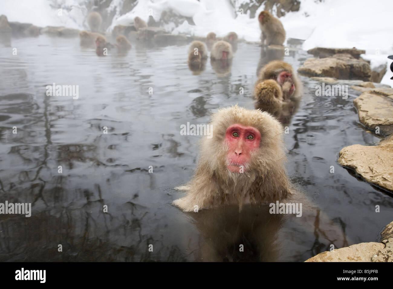 Nacional Jigokudani Monkey Park, Nagano, Japón: monos de nieve Japonés (Macaca fuscata) en invierno Imagen De Stock