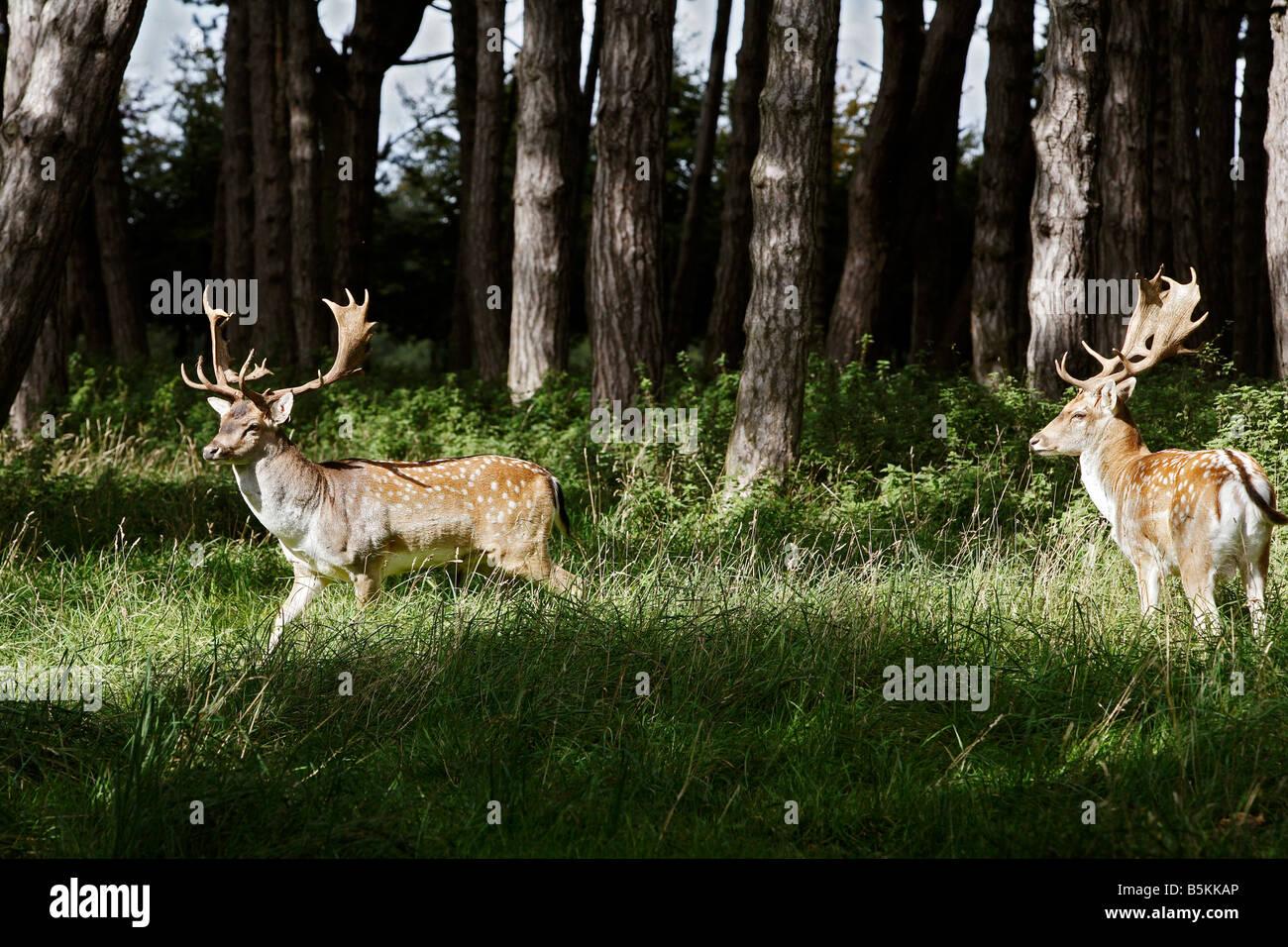 Ciervos salvajes en el Phoenix Park de Dublín Irlanda 8 Foto de stock