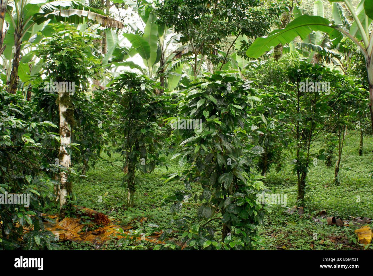 El café orgánico bajo sombra mucho en la Finca Esperanza Verde plantación de cerca de Matagalpa, Imagen De Stock